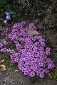 Thymus praecox ssp. arcticus