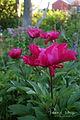 Paeonia lactiflora 'Karl Rosenfield'