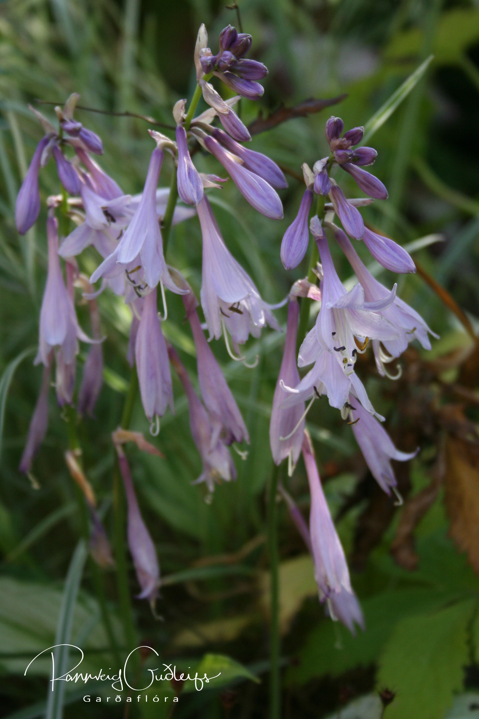 Hosta 'Lady Guinevere'