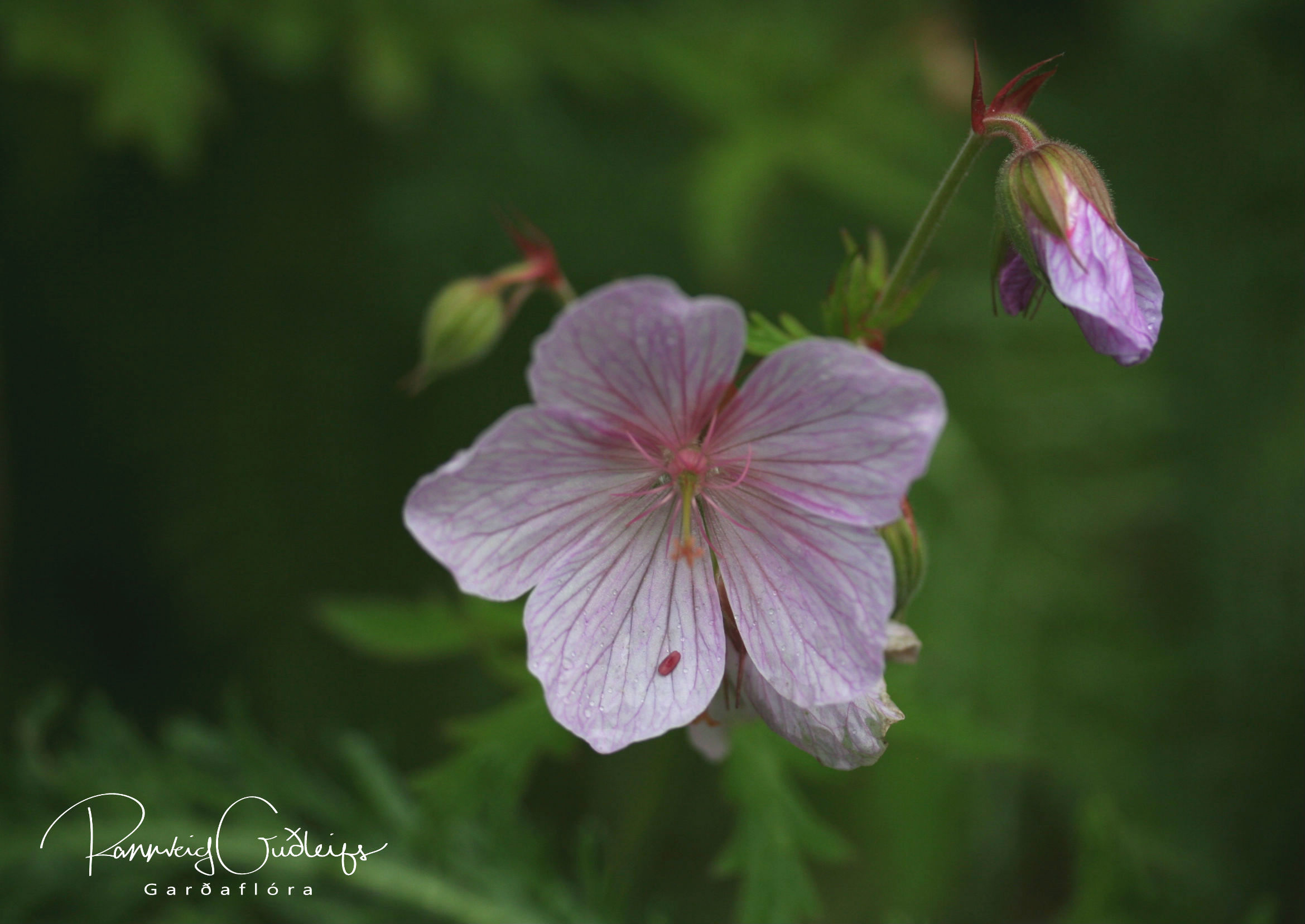Geranium pratense, fölbleikur