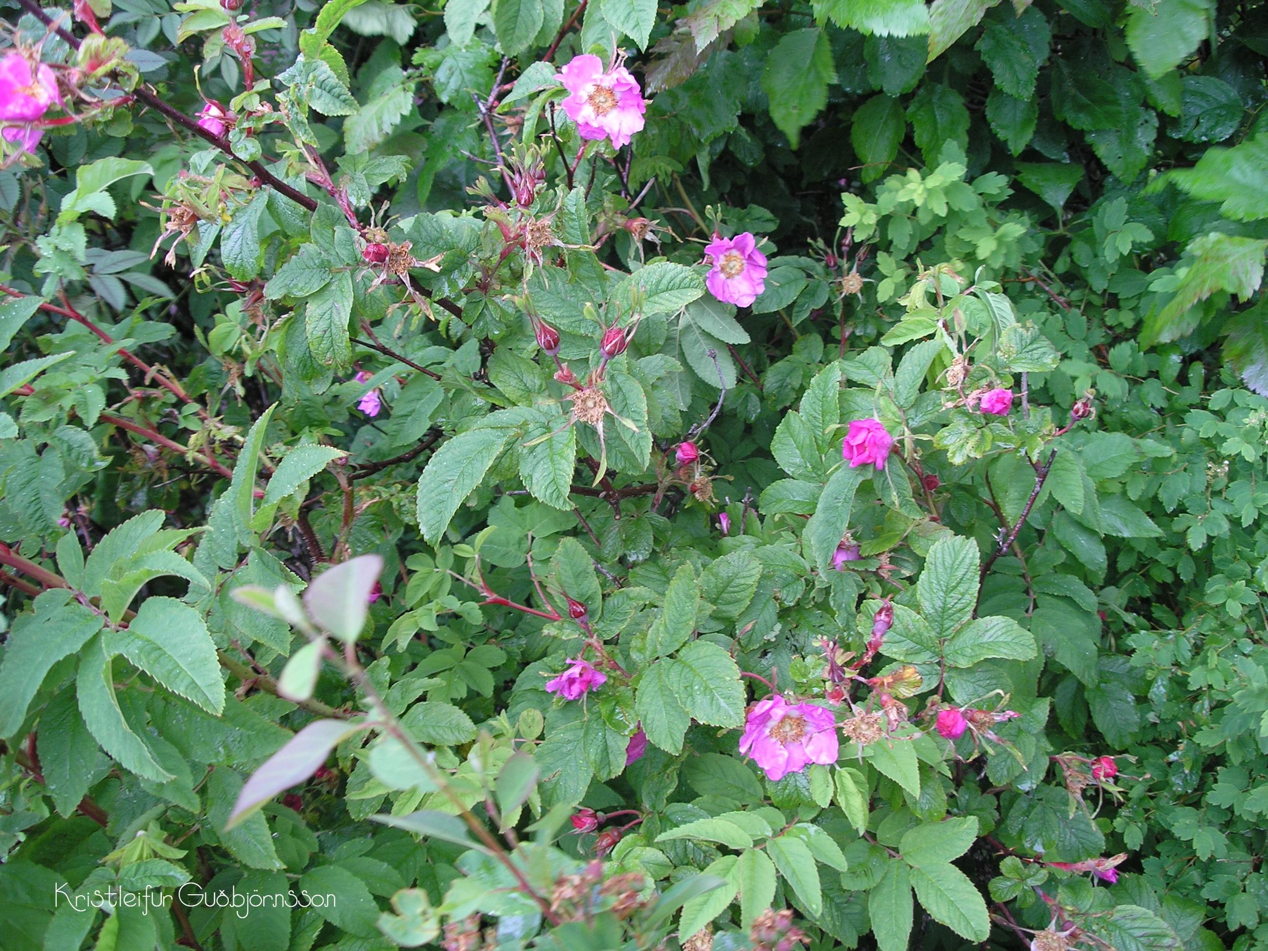 Rosa amblyotis