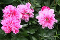Paeonia officinalis 'Rosea Plena'