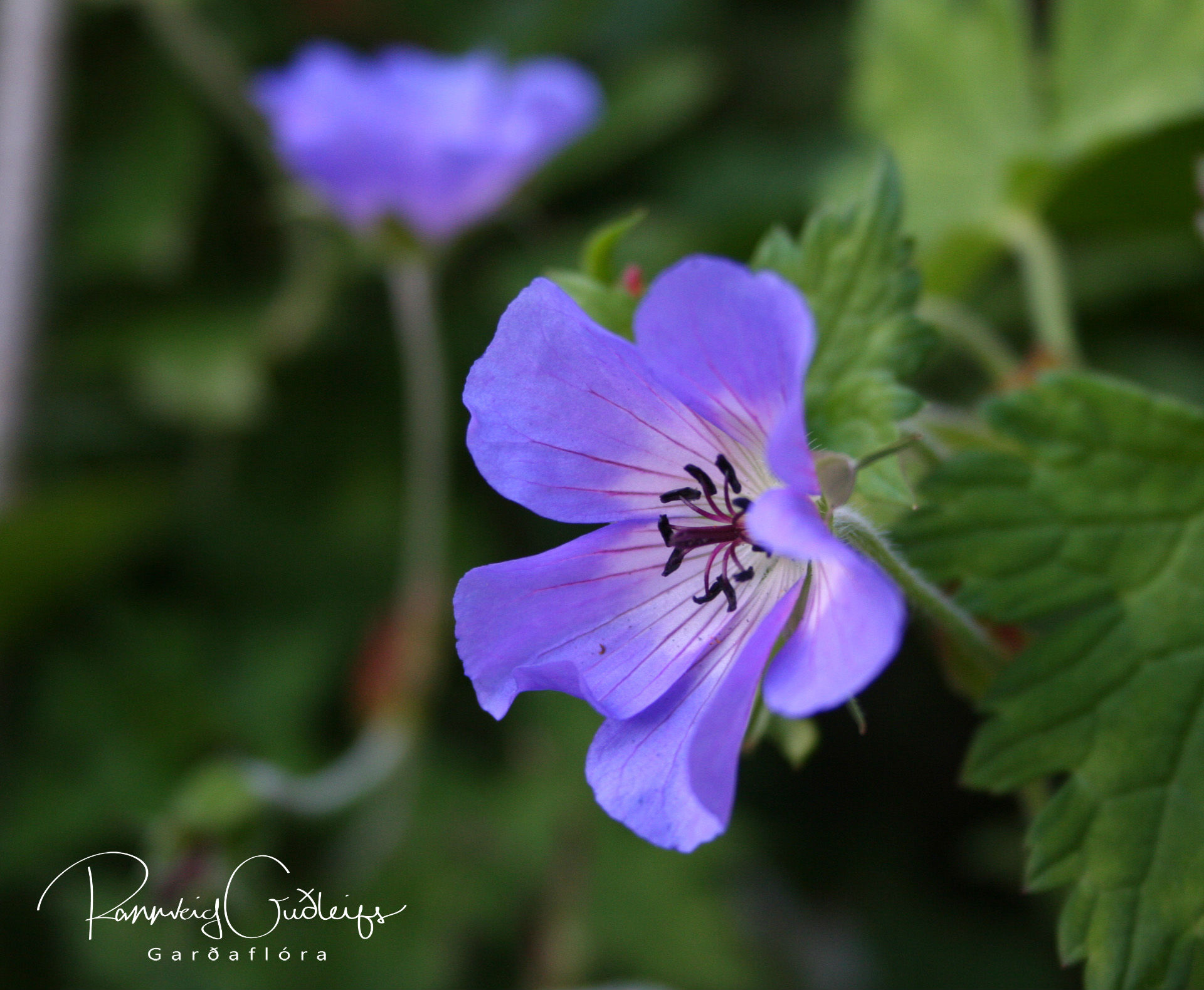 Geranium wallichianum 'Buxtons Blue'