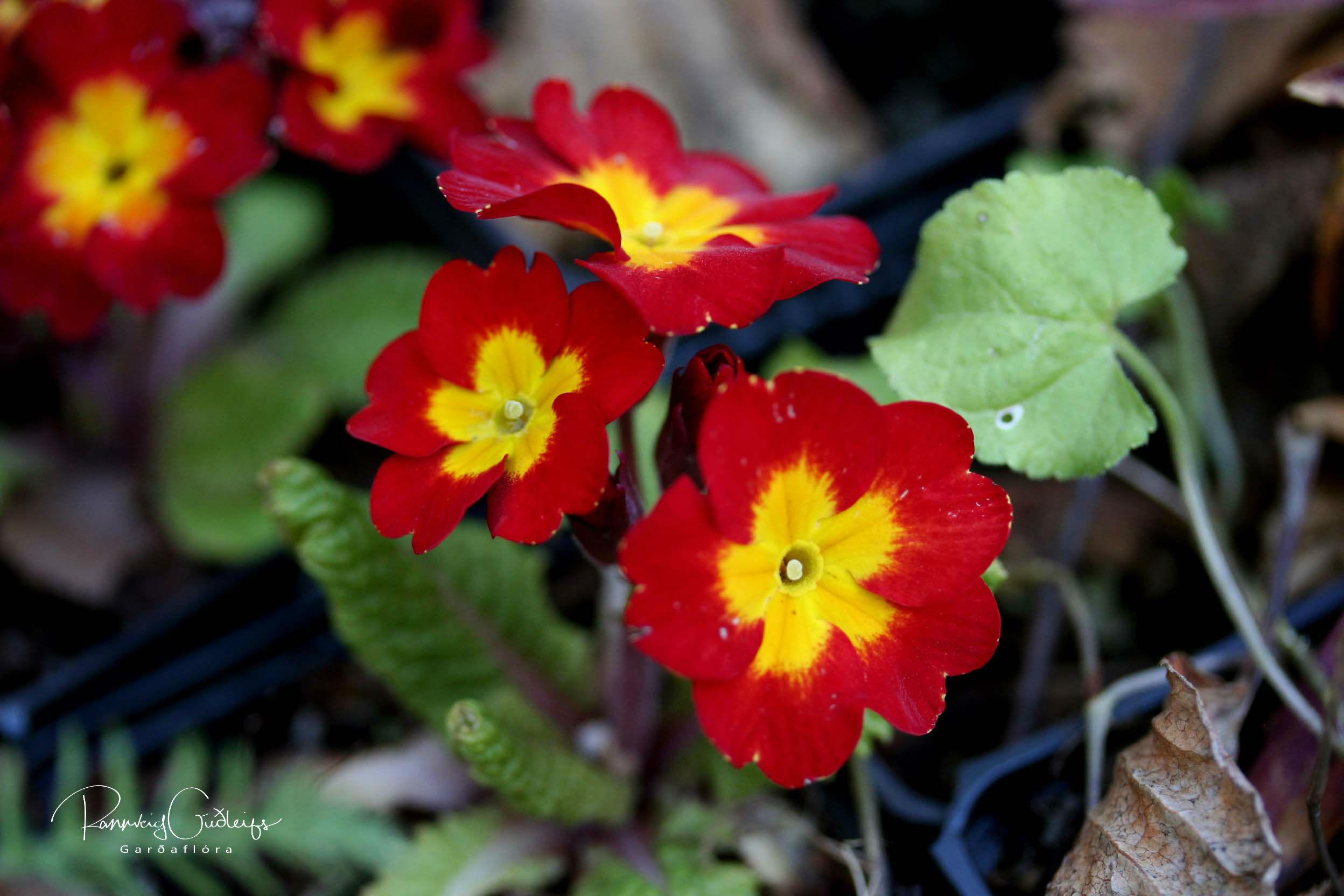 Primula x polyanthus 'Arctic Mix'