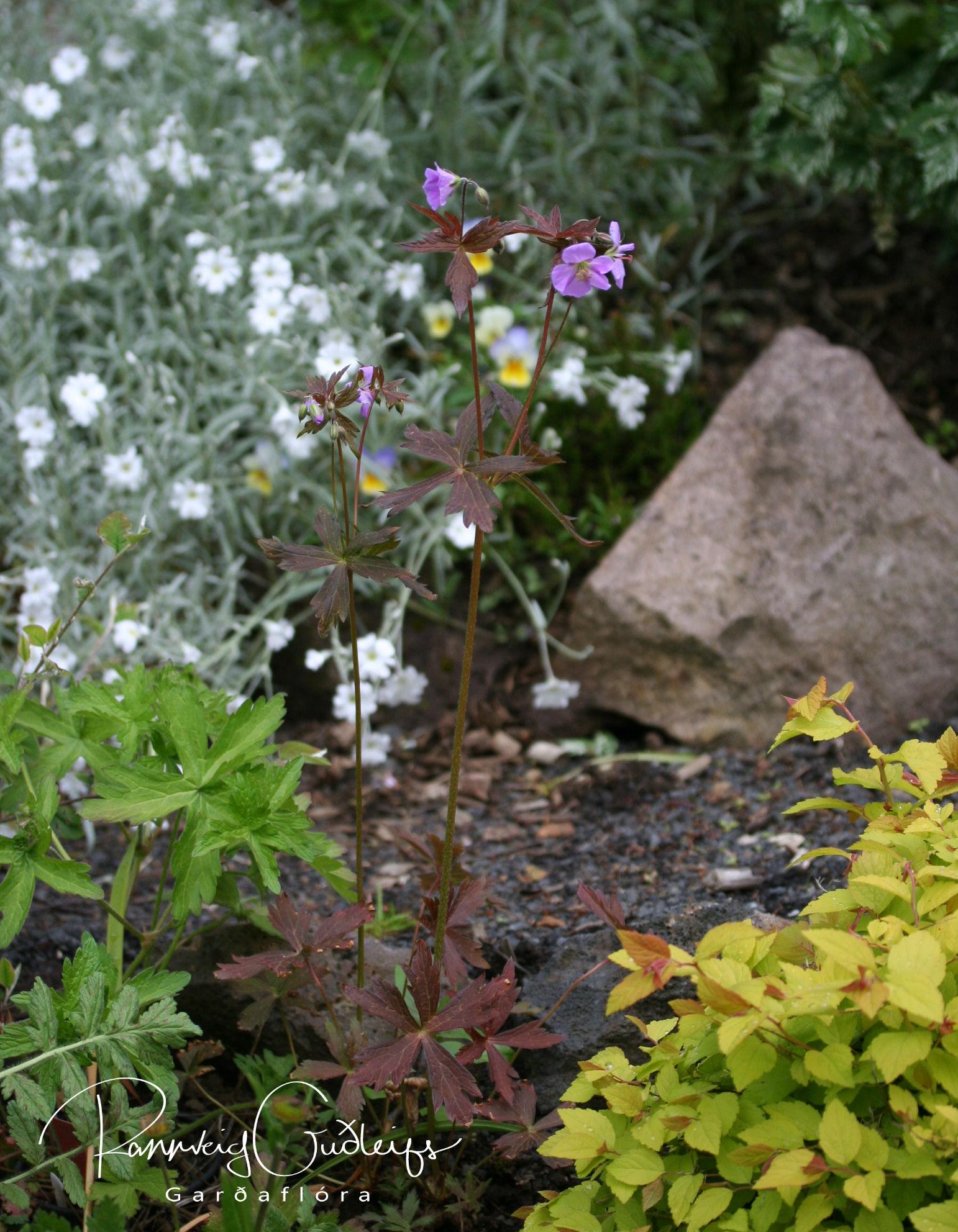 Geranium maculatum 'Elizabeth Ann'