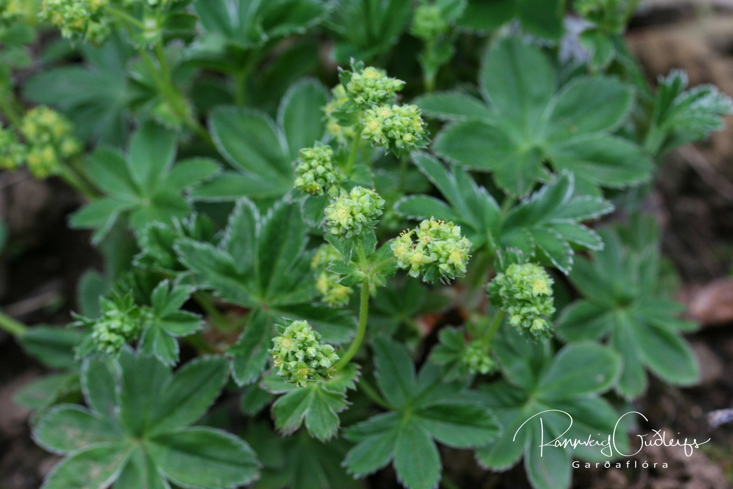 Alchemilla faeroensis
