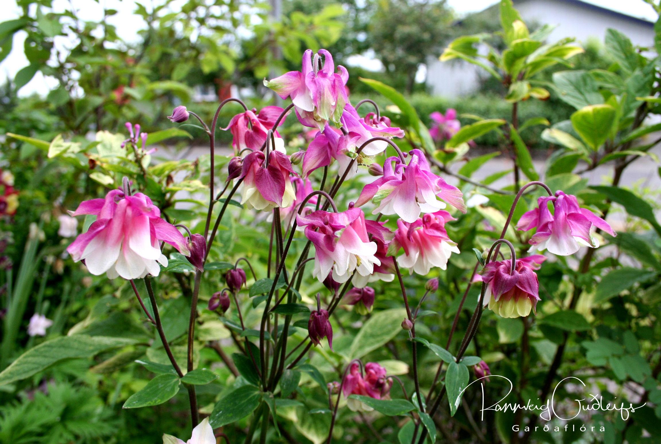 Aquilegia vulgaris 'Pink Bonnets'
