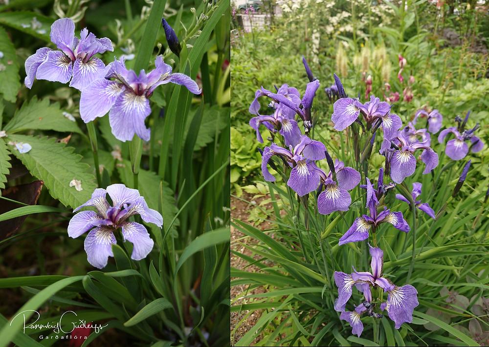 engjaíris, Iris setosa var. arctica, Iris setosa, purple iris