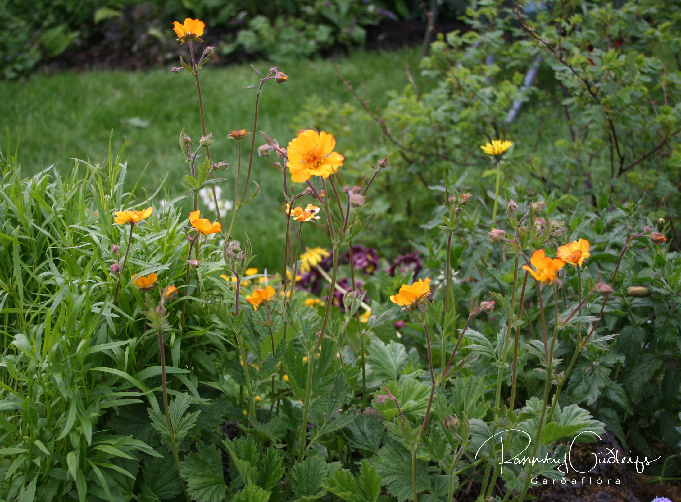 Geum coccineum 'Prince of Orange'