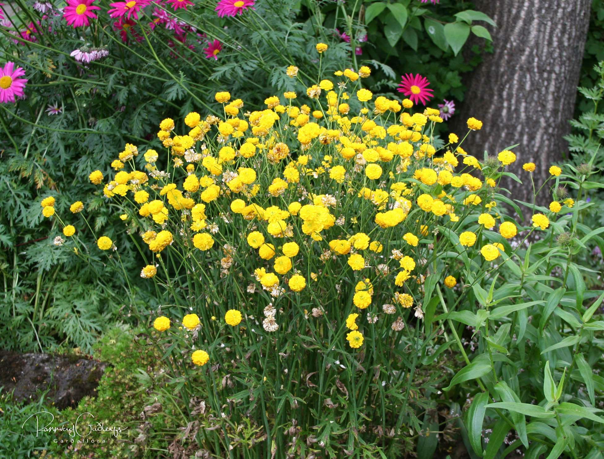 Ranunculus repens 'Pleniflorus'