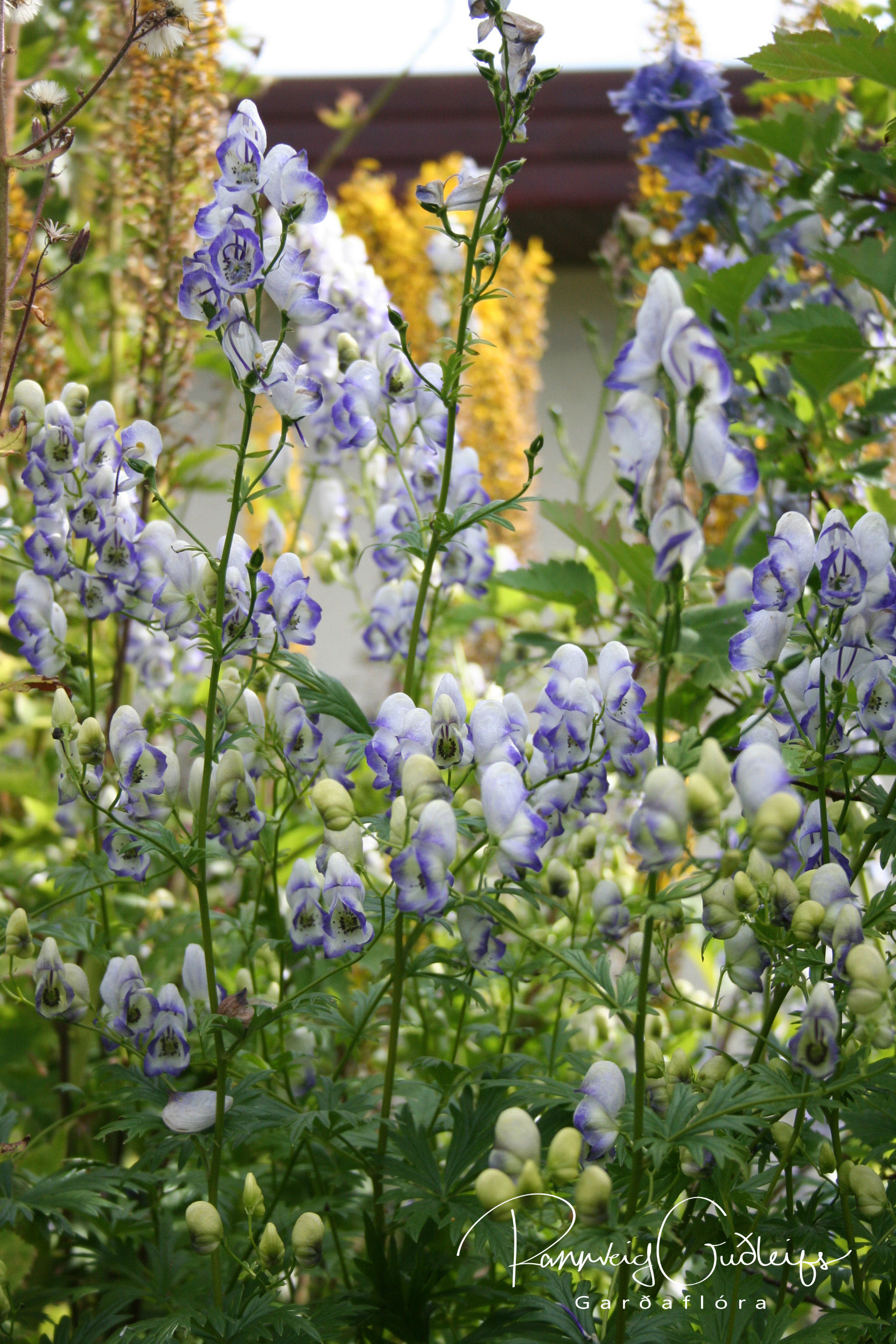 Aconitum x cammarum 'Bicolor'