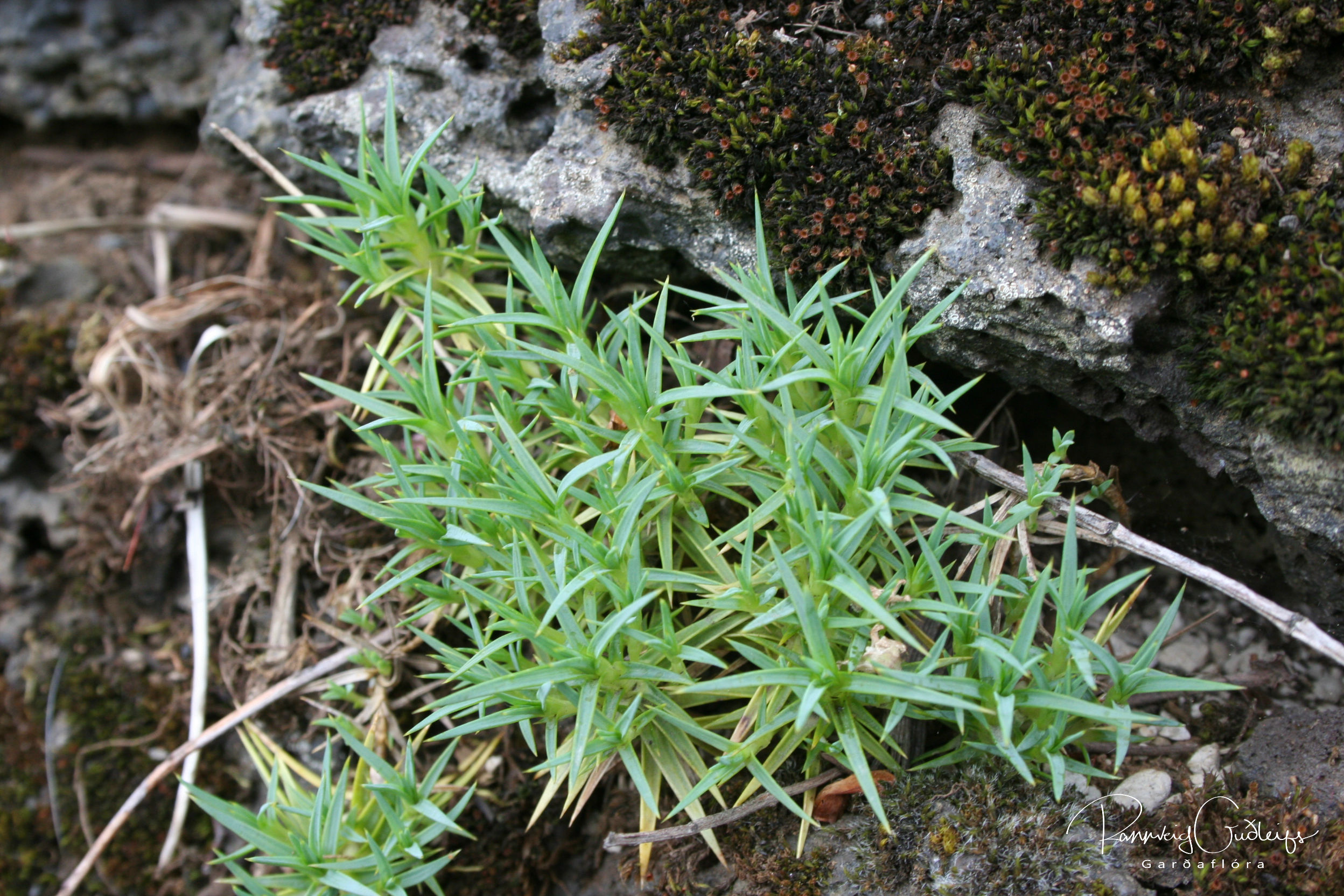 Dianthus erinaceus
