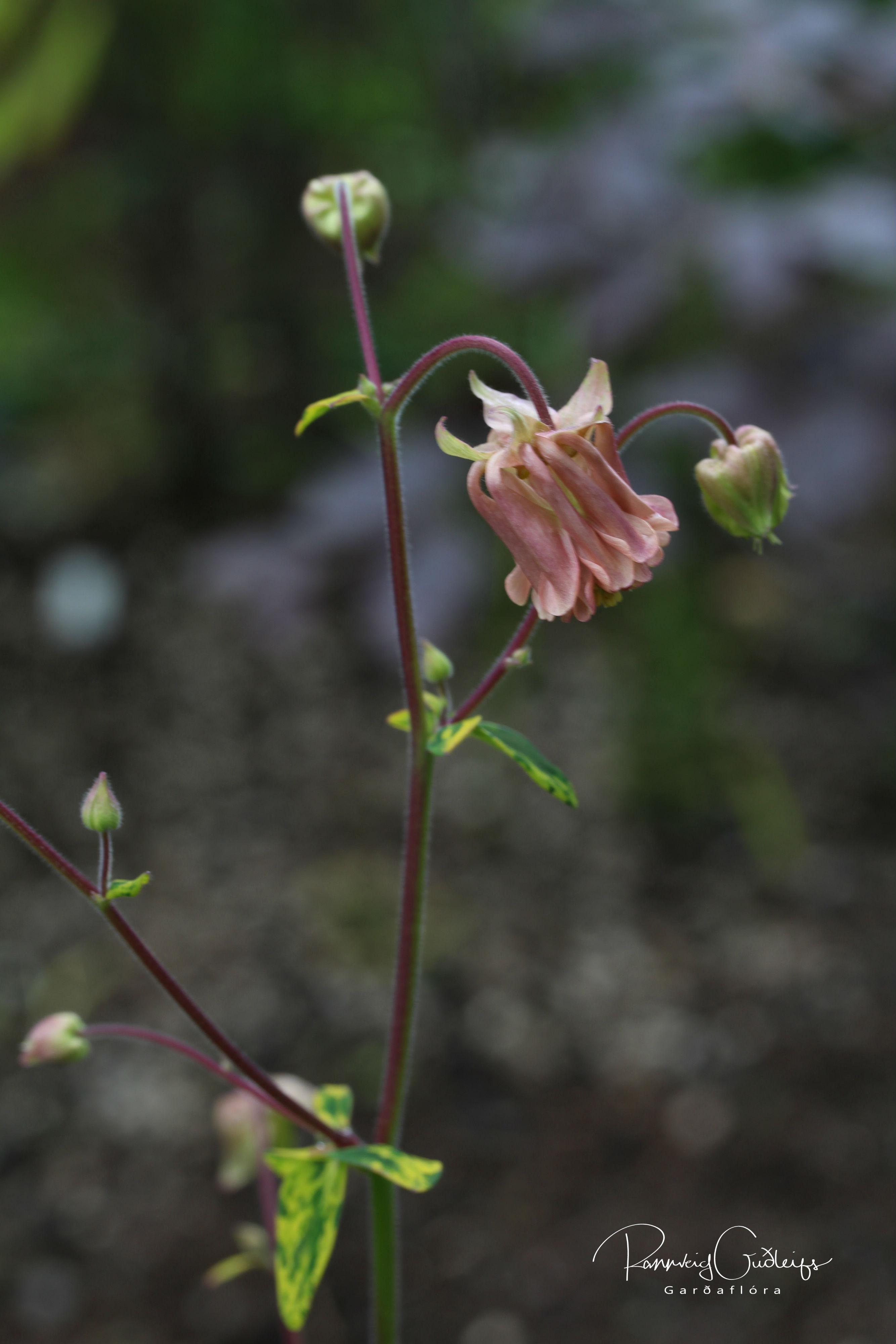 Aquilegia vulgaris var. vervaeneana 'Woodside Variegata'