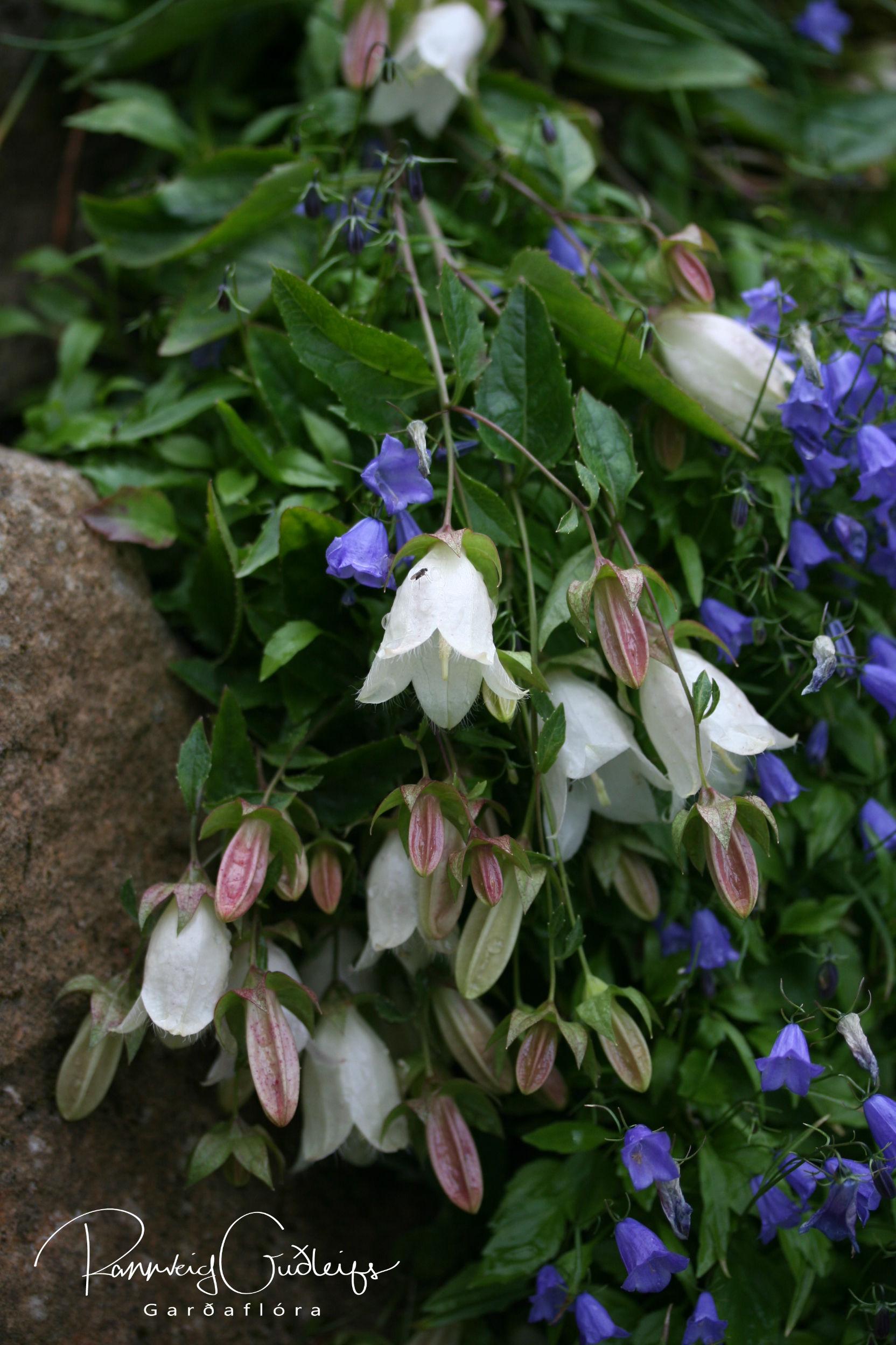 Campanula betulifolia