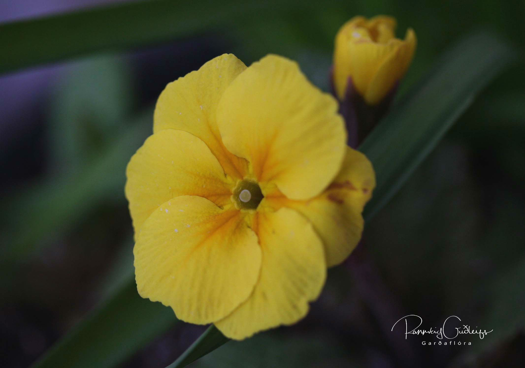 Primula x polyantha 'Arctic Mix'