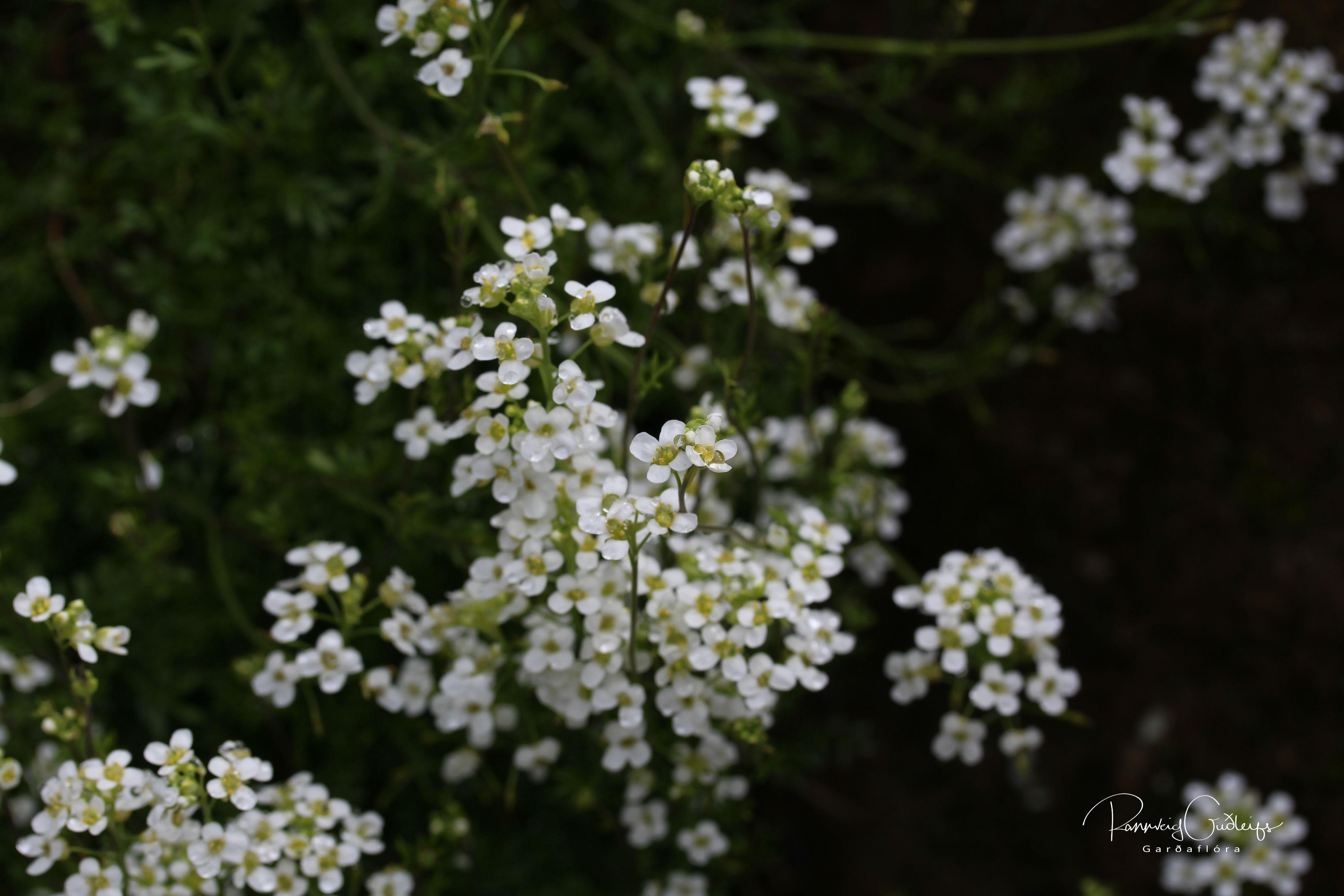 Hornungia alpina