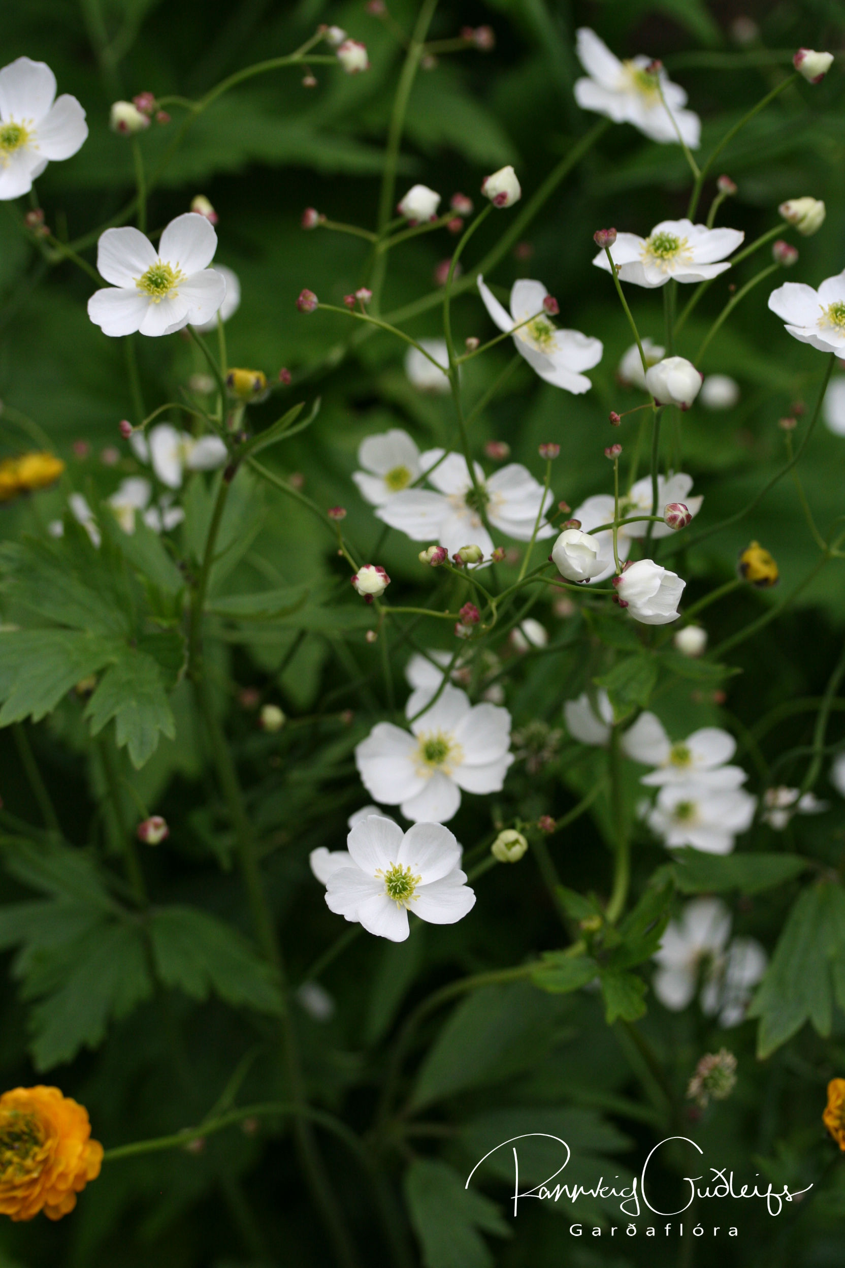 Ranunculus platanifolius