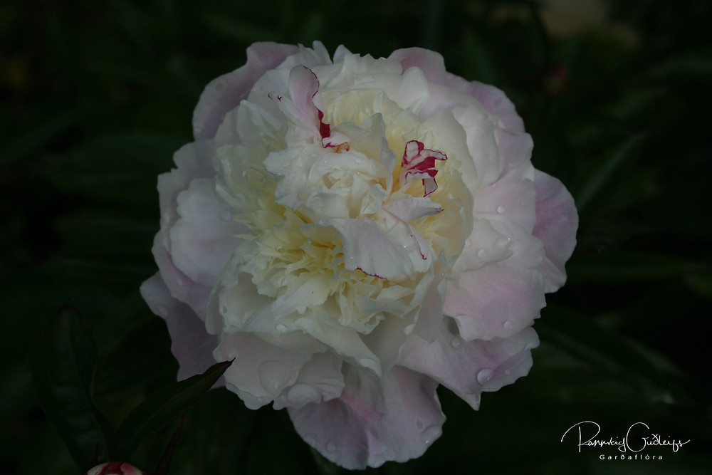 Paeonia 'Festiva Maxima'; Peony flower; pale pink flower