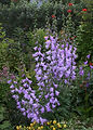 Adenophora liliifolia