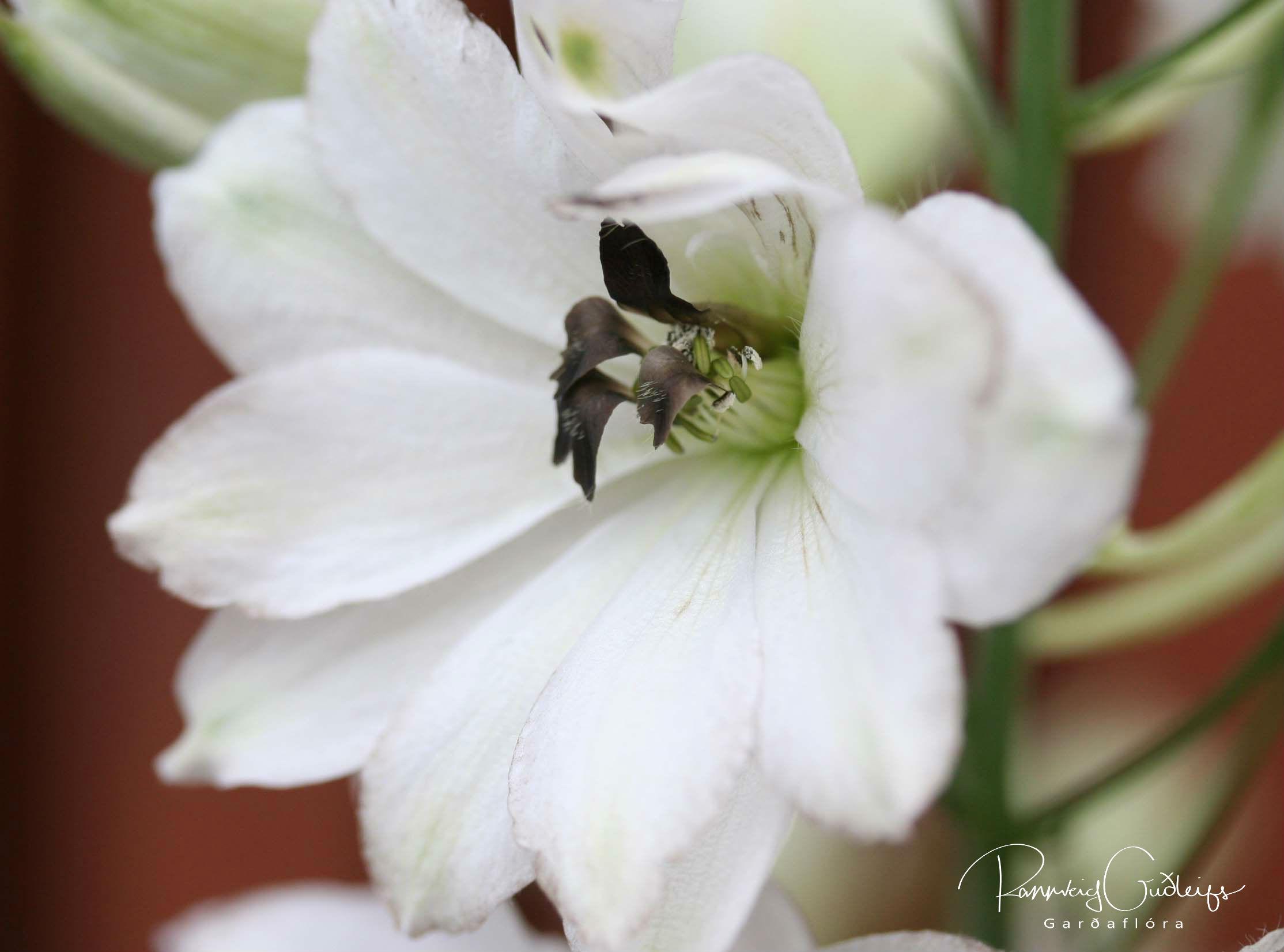 Delphinium x cultorum 'Percival'