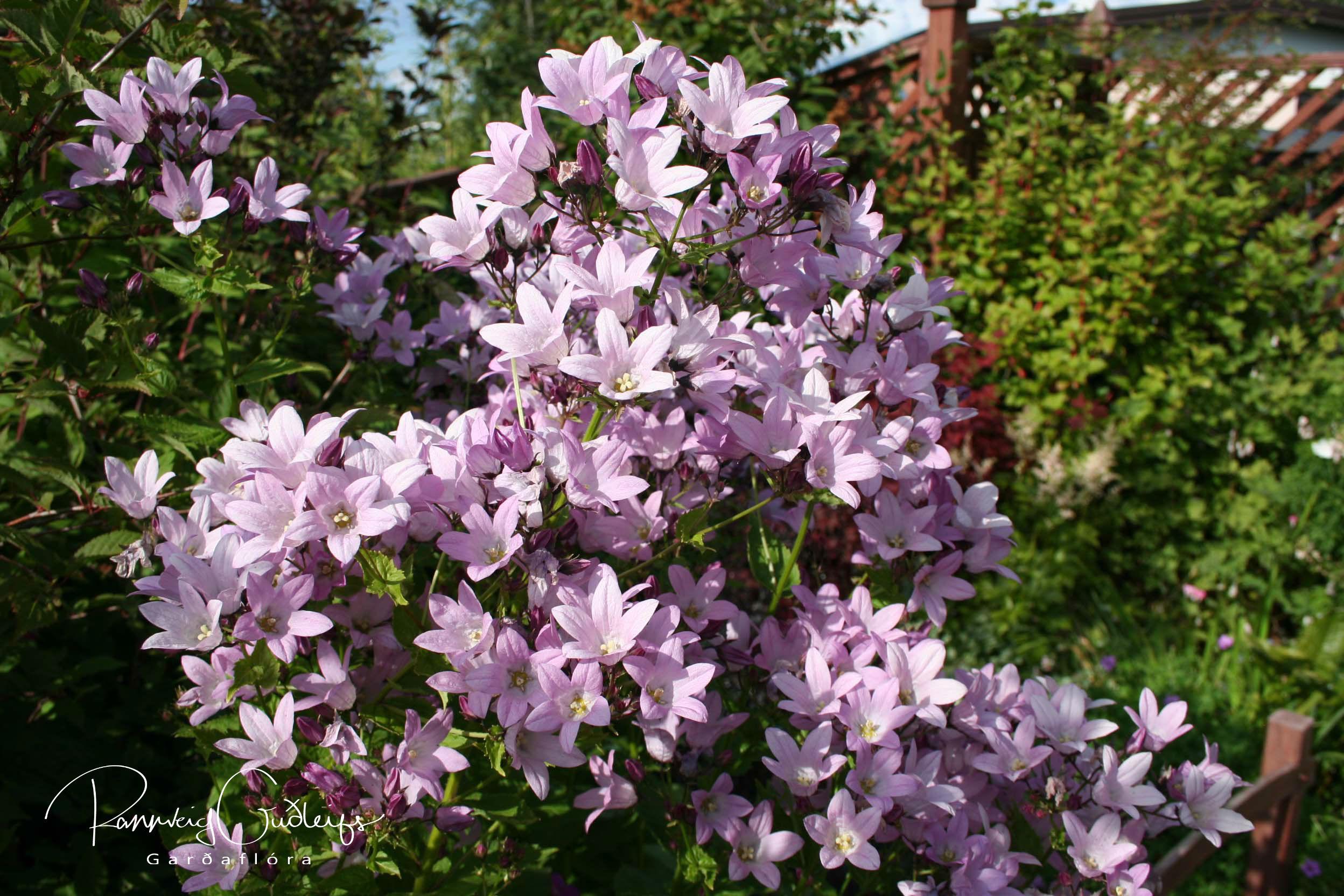 Campanula lactiflora 'Pink Dwarf'