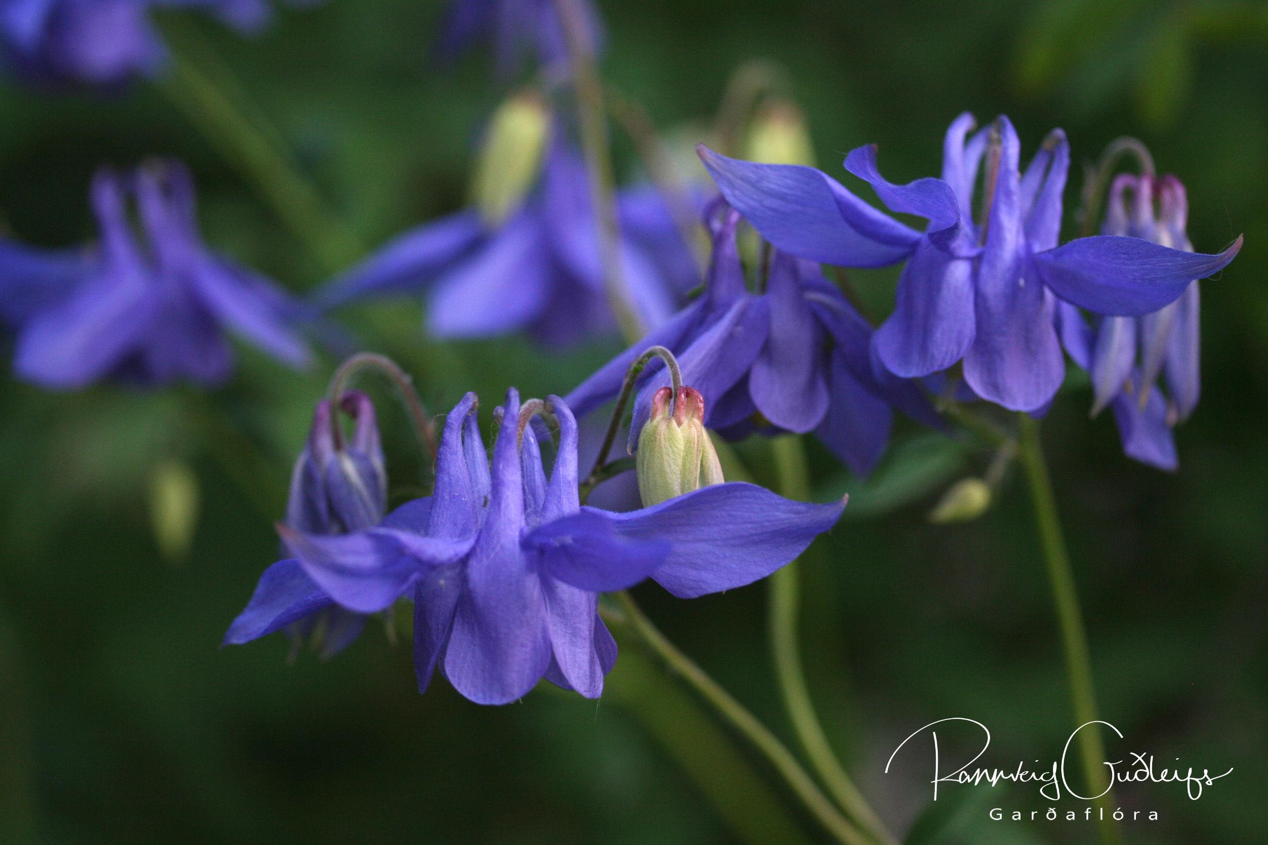 """Aquilegia sp. """"Blue"""""""