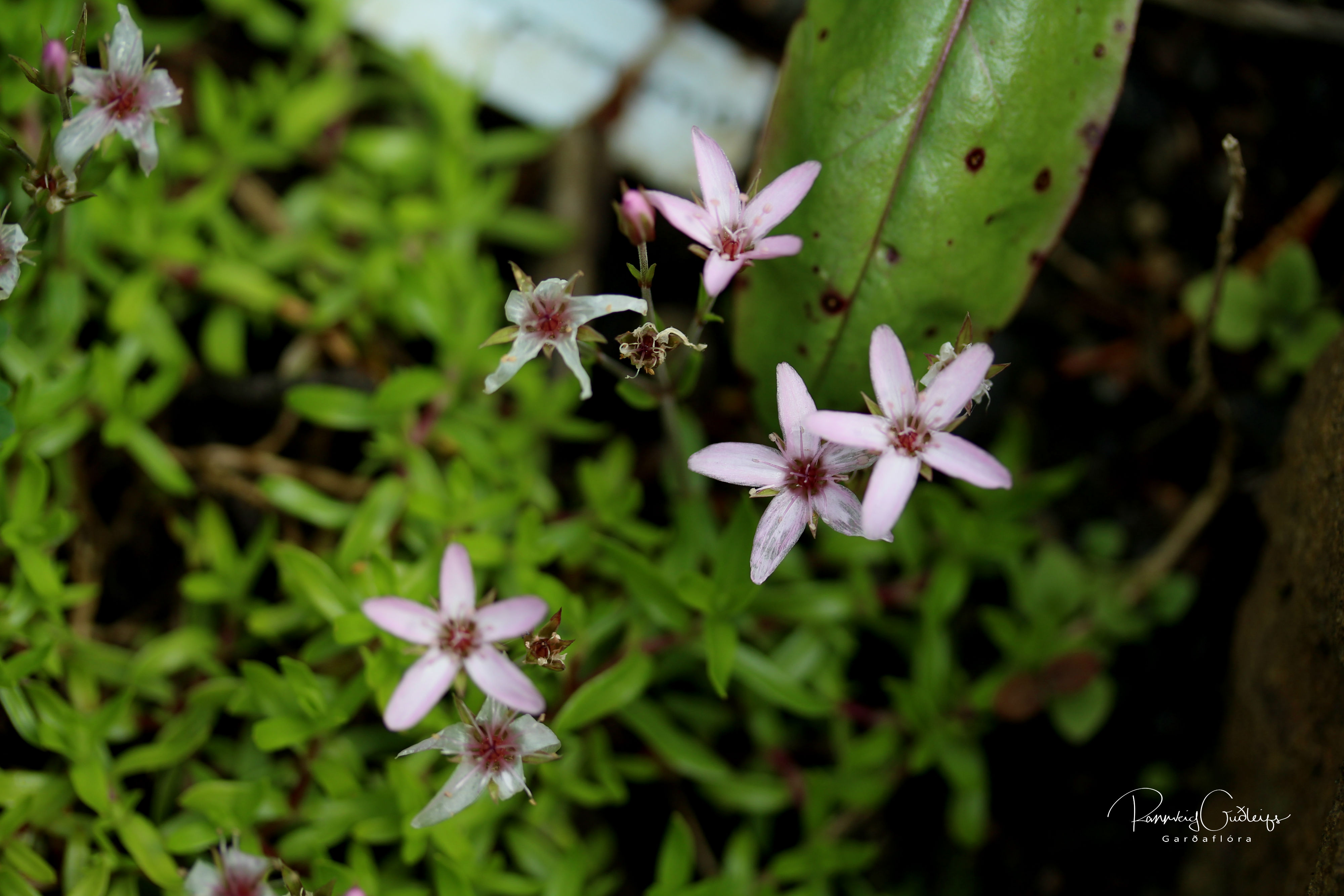 Arenaria purpurascens