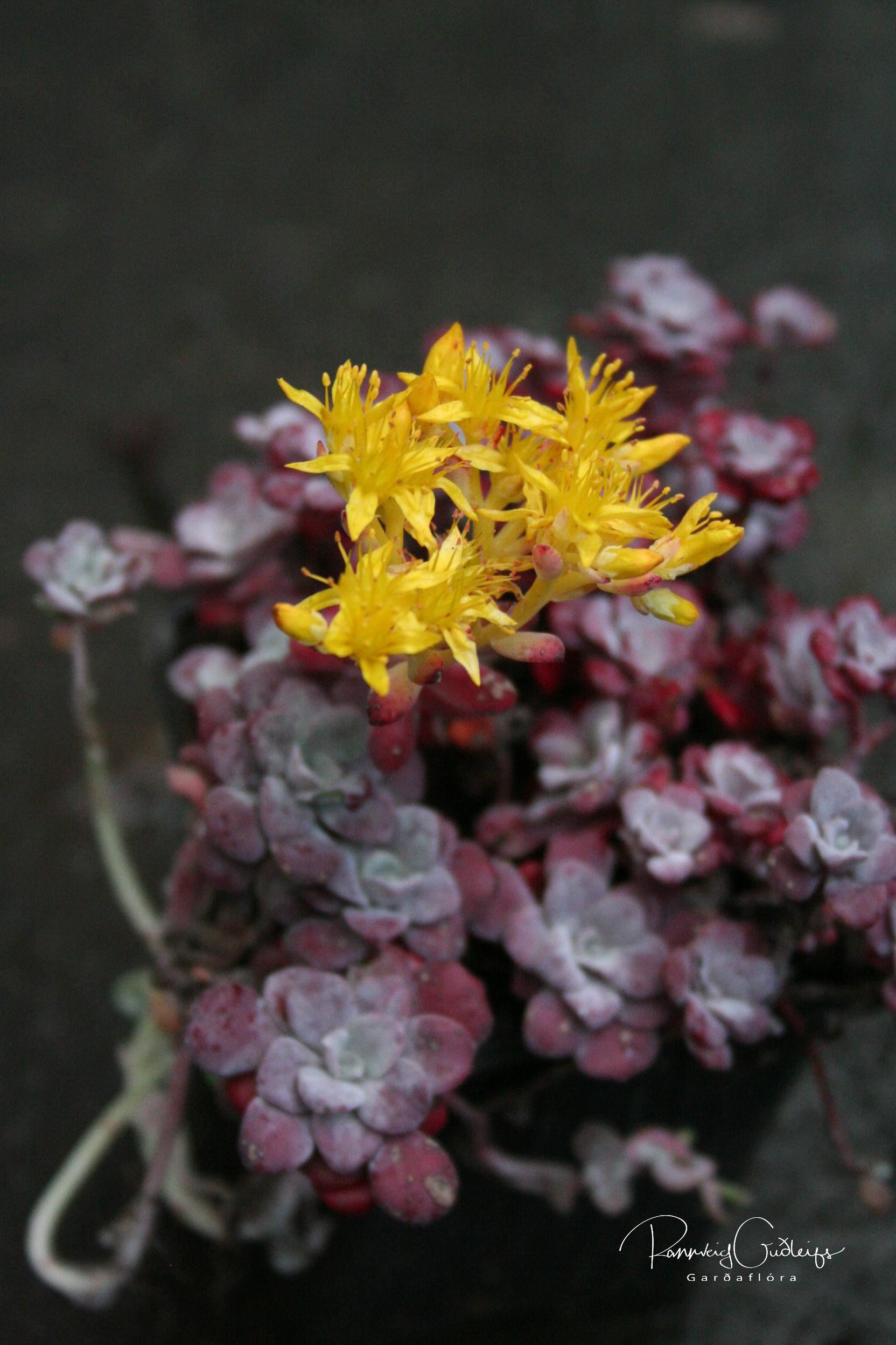 Sedum spathulifolium var. purpureum