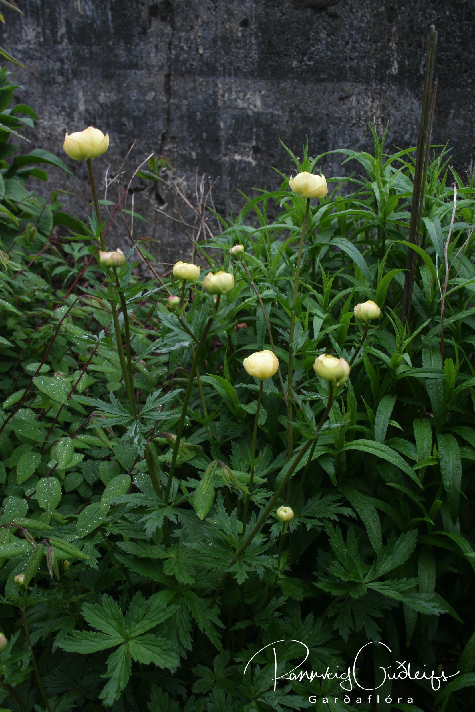 Trollius x cultorum, pale yellow