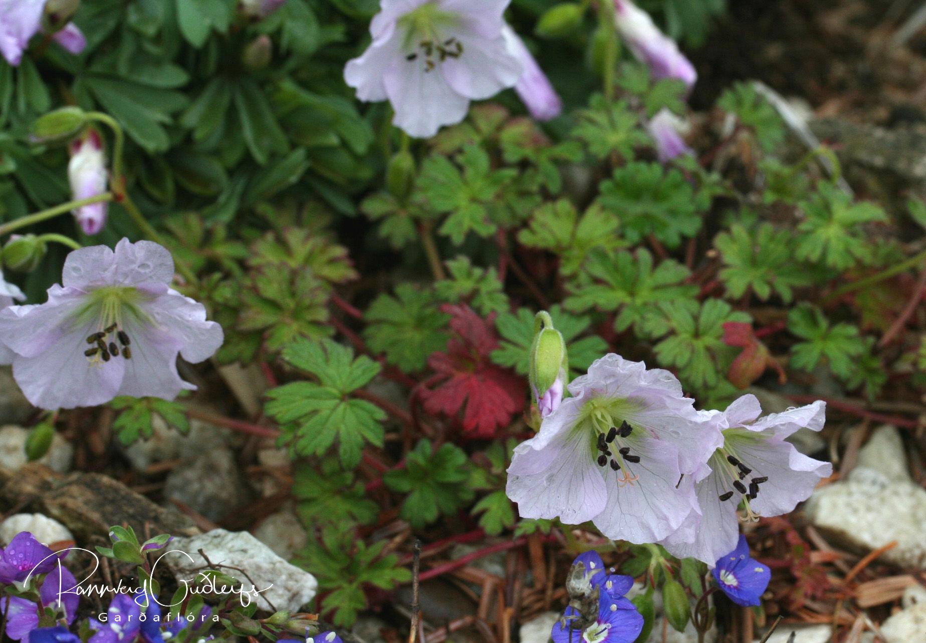 Geranium farreri