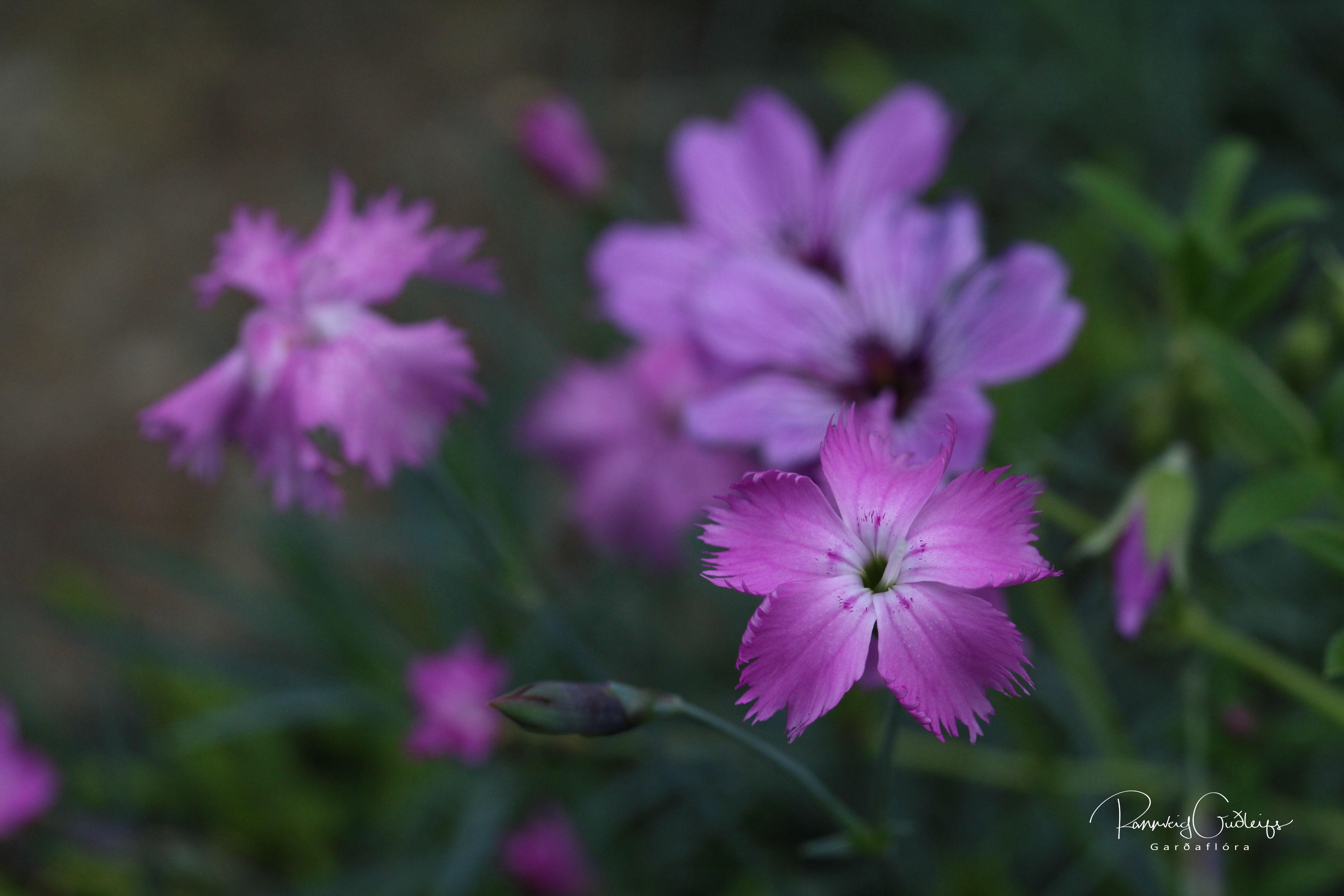 Dianthus plumarius 'Arabella'