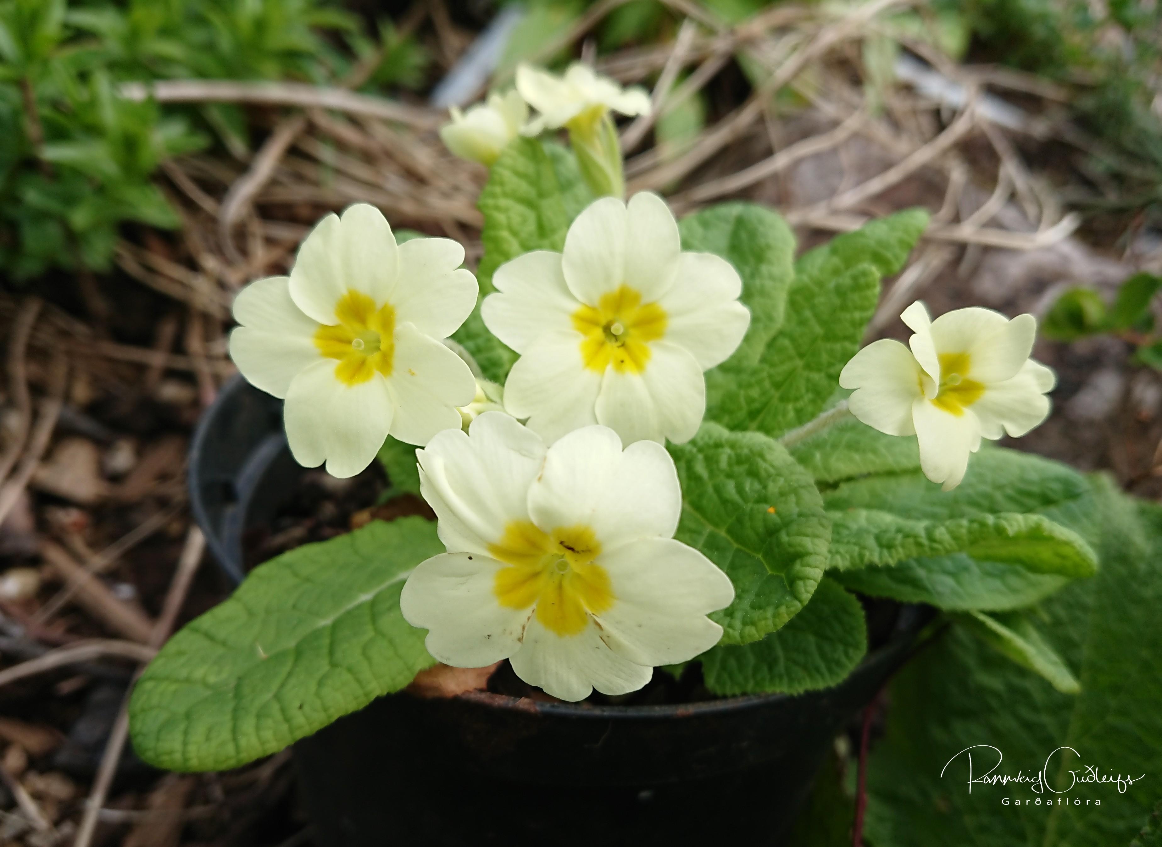 Primula vulgaris