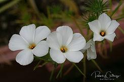 Linanthus - Dvergaugu