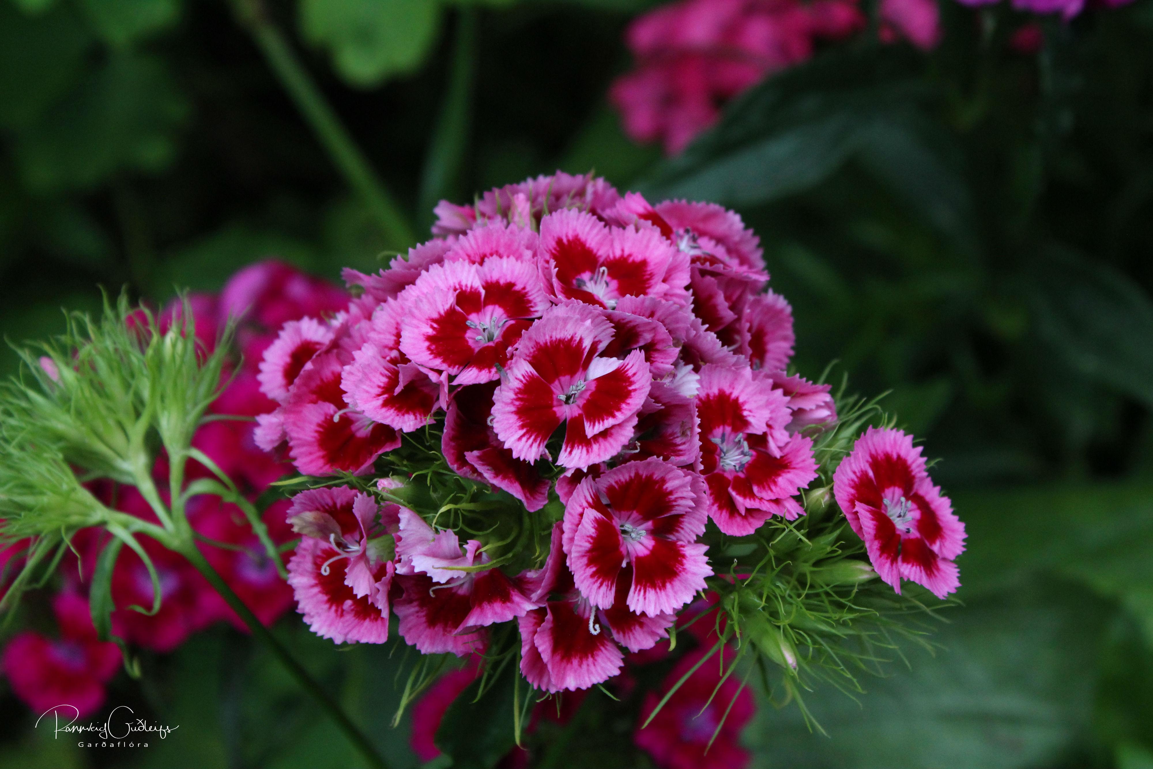 Dianthus barbatus 'Mix'