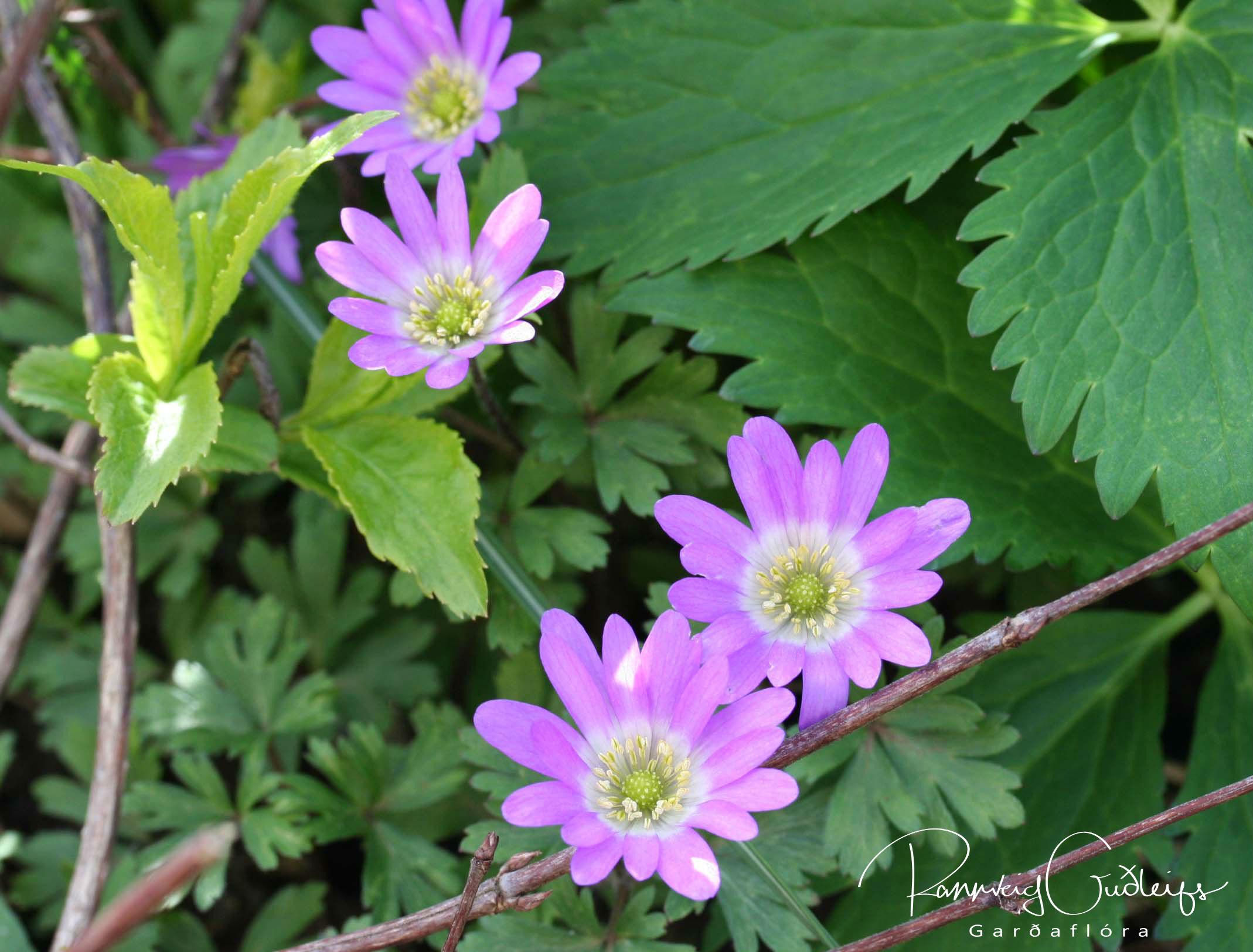 Anemone blanda 'Charmer'