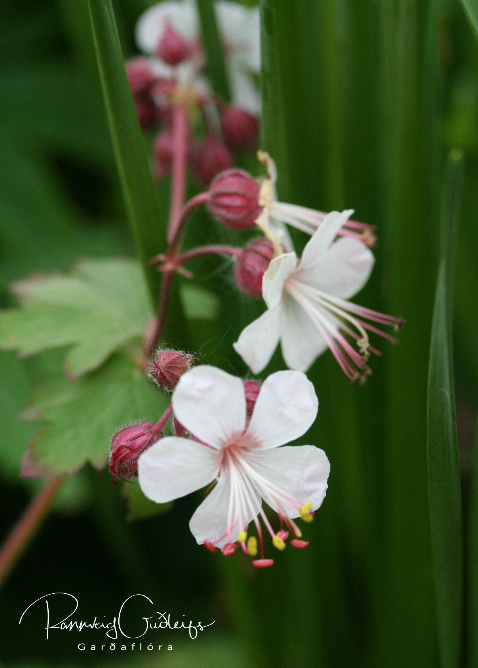 Geranium macrorrhizum 'Alba'