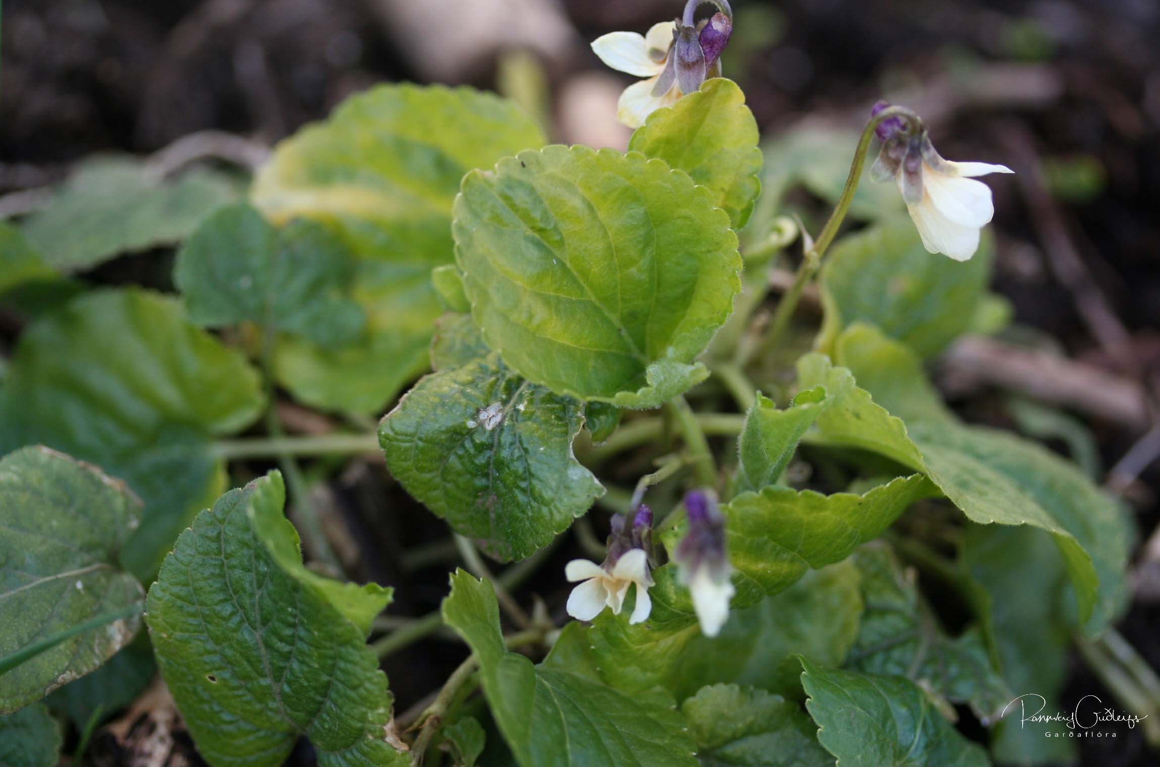 Viola sororia 'Famecheck Apricot'