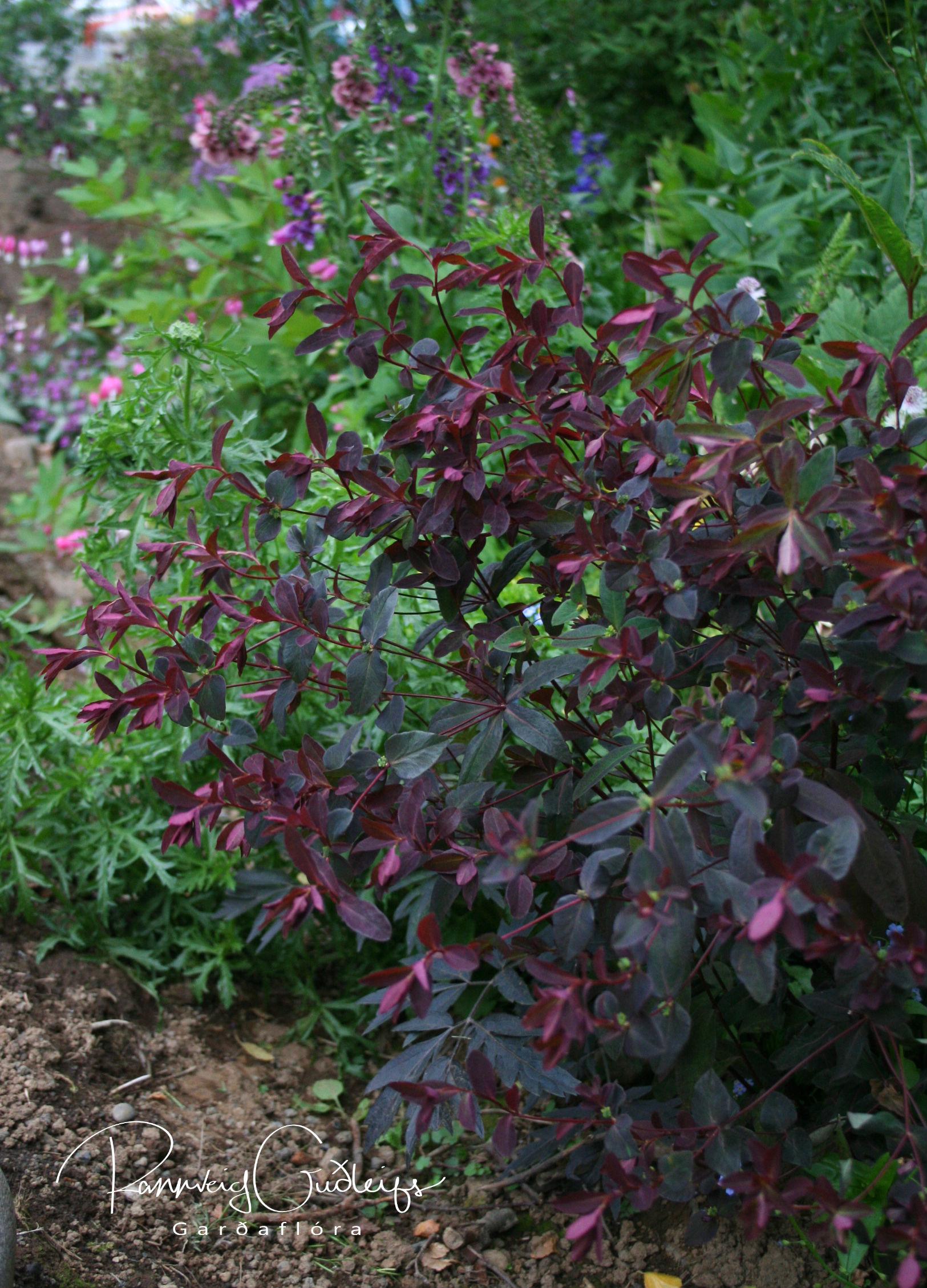 Euphorbia dulcis 'Chamaeleon'