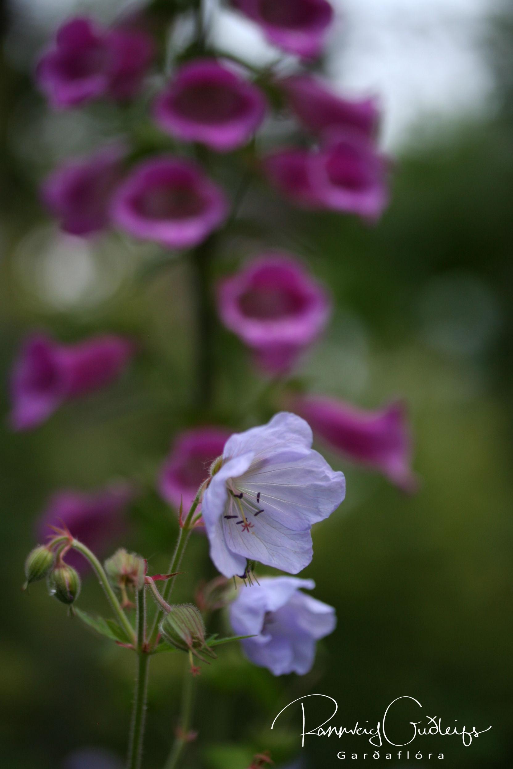 Geranium pratense 'Lilac'