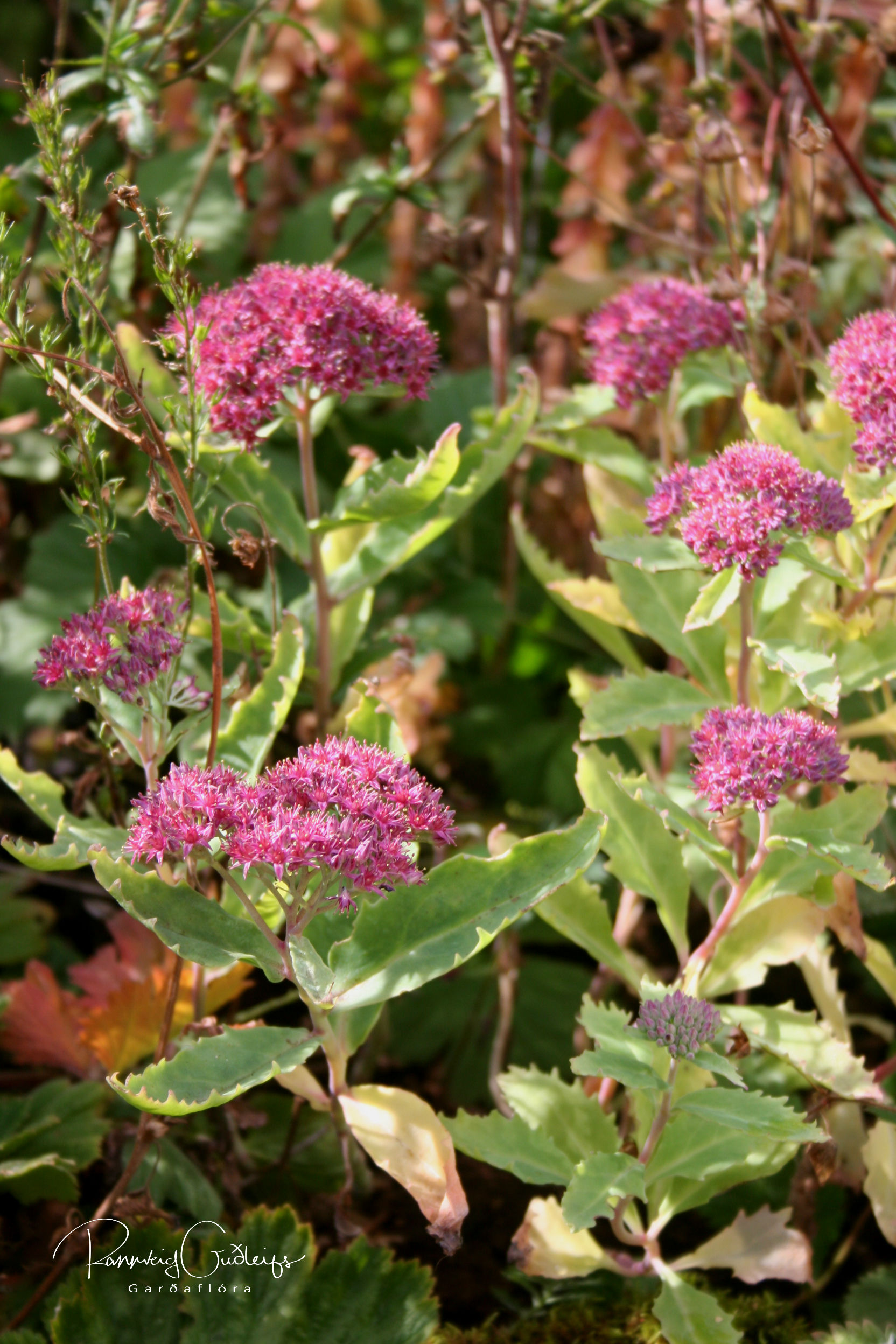 Sedum telephium ssp. fabaria