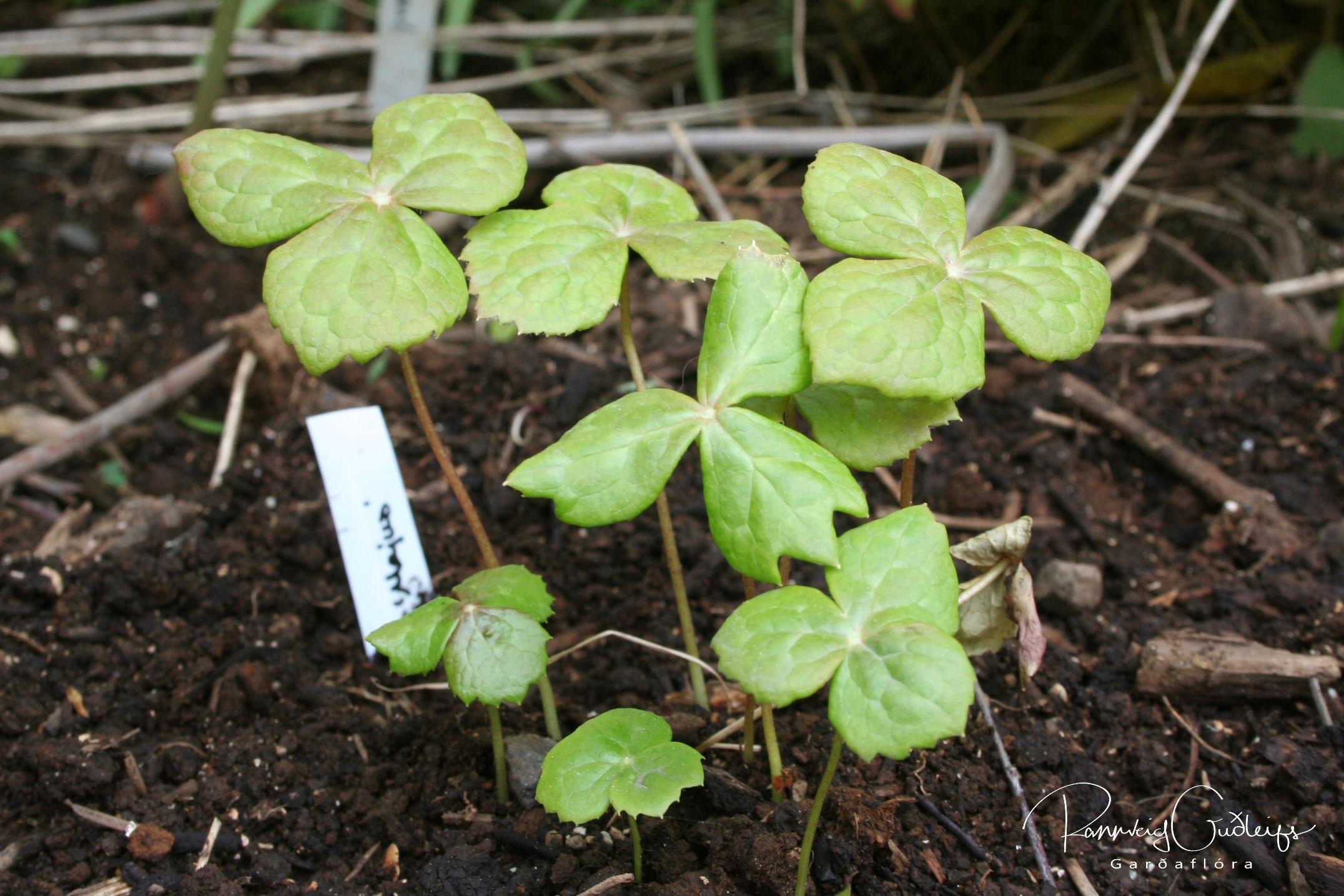 Sinopodophyllum hexandrum 'Majus'