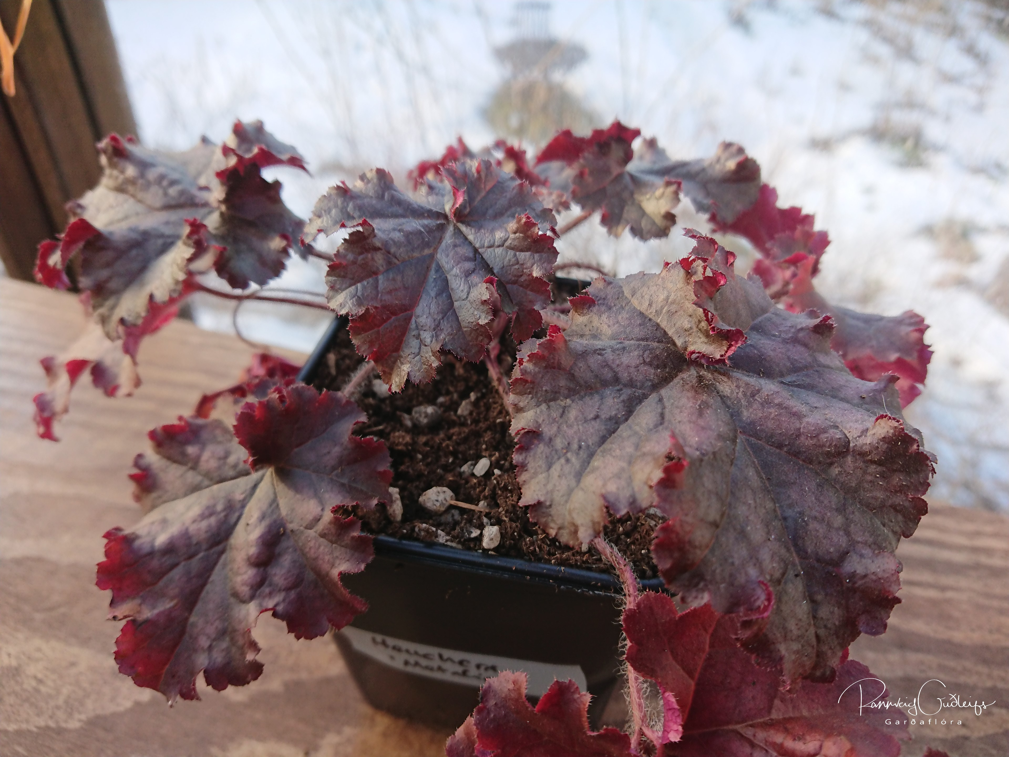 Heuchera 'Metallica'