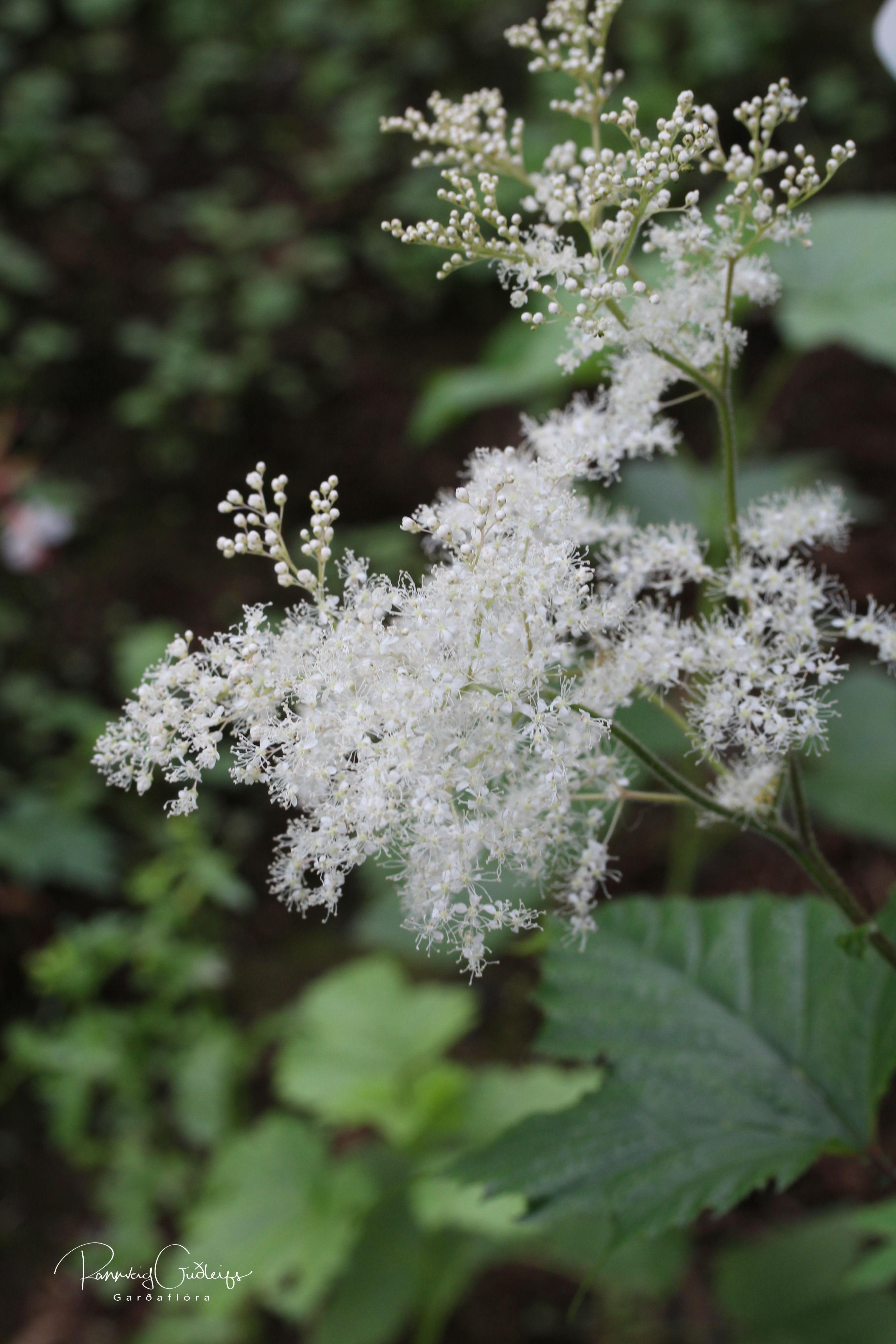 Filipendula kamtschatica