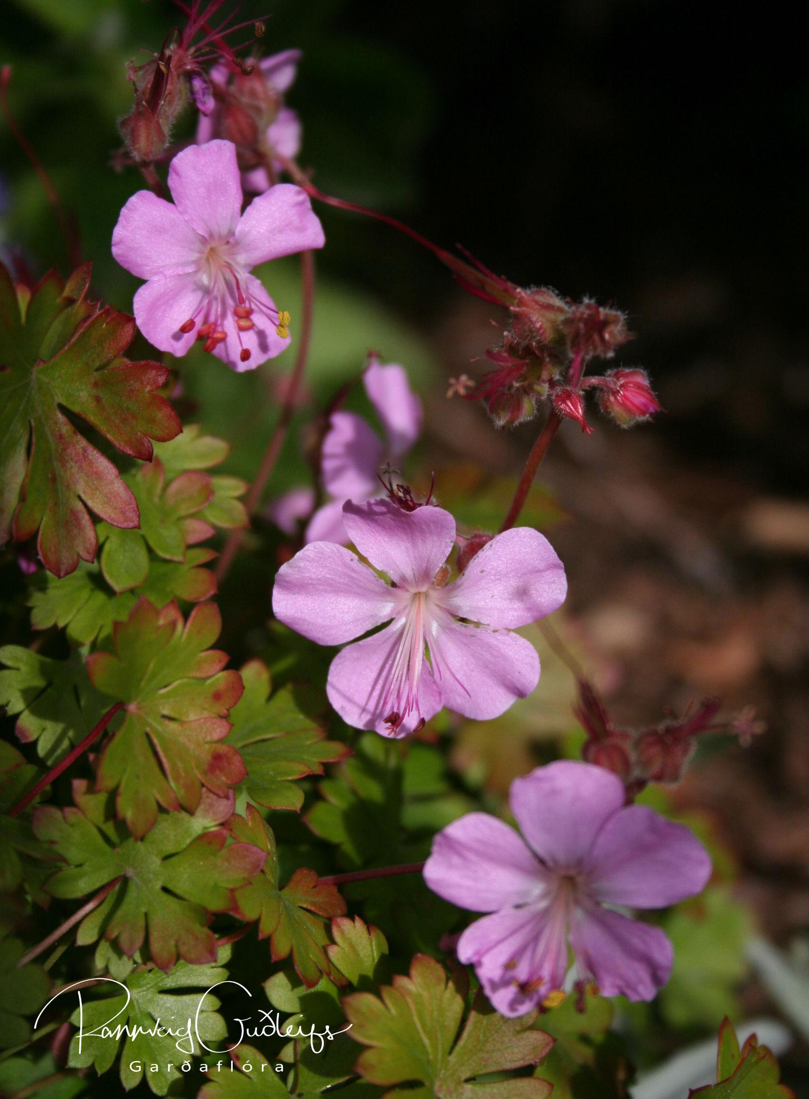 Geranium dalmaticum