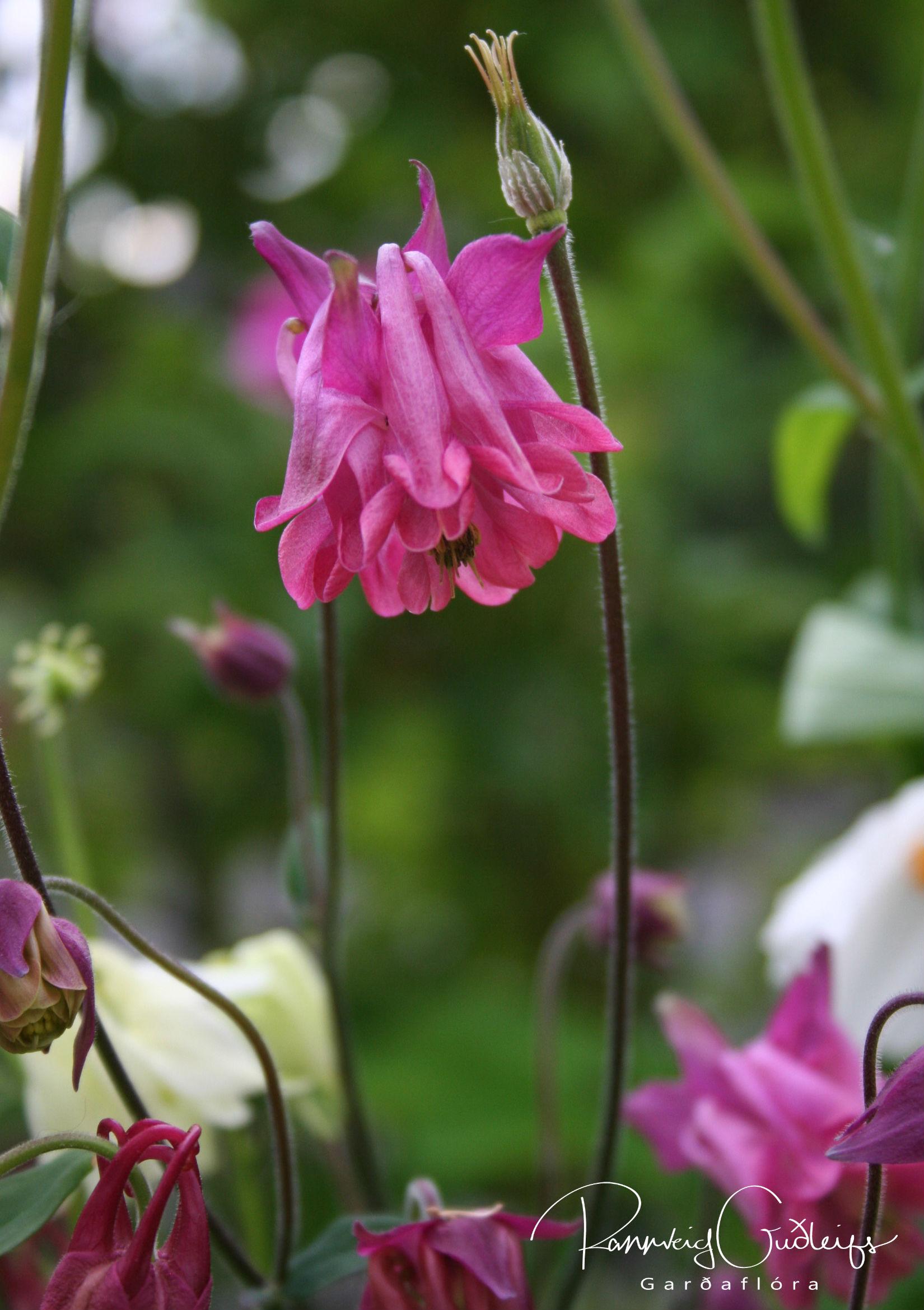 Aquilegia vulgaris 'Petticoats'