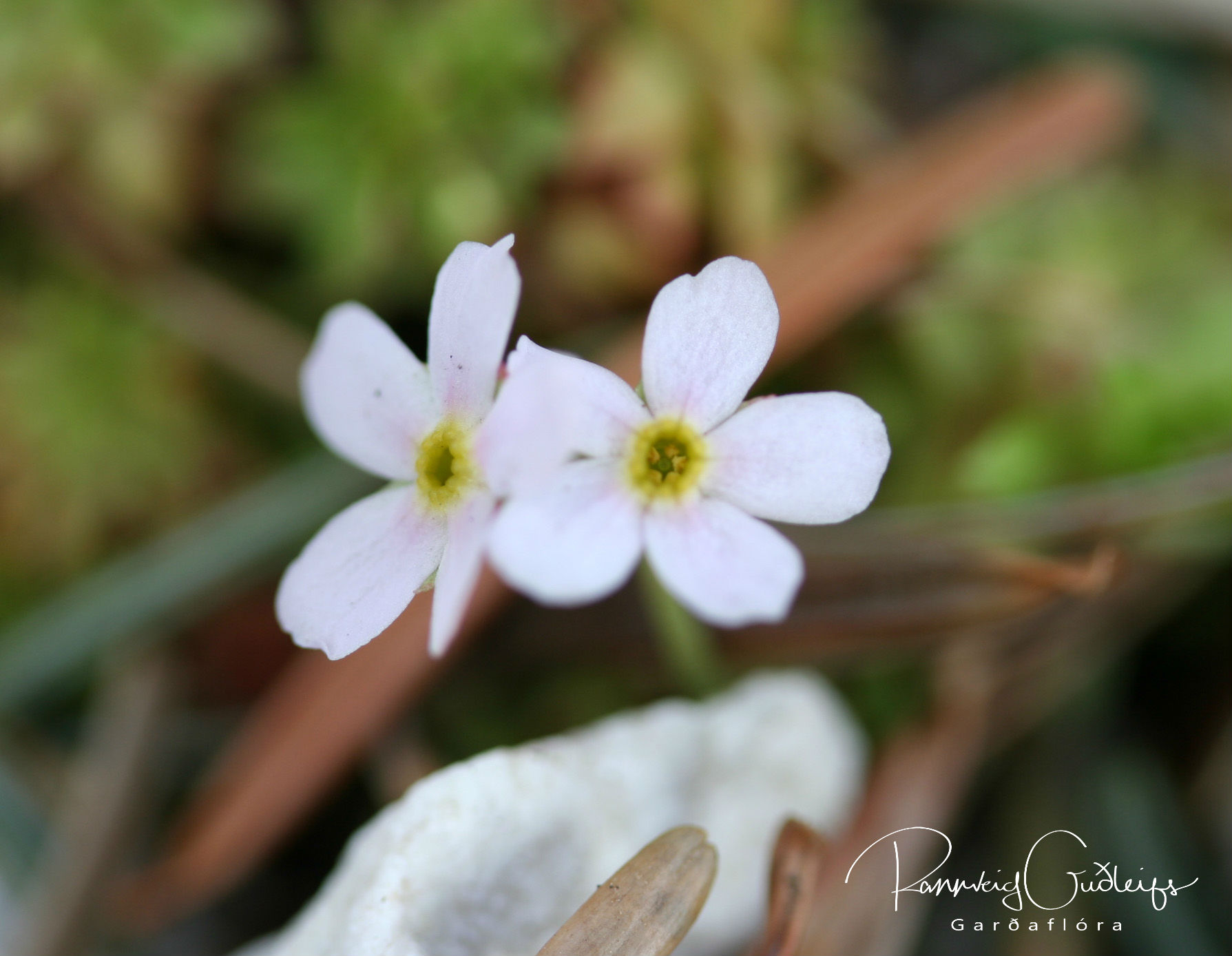 Androsace hedreantha