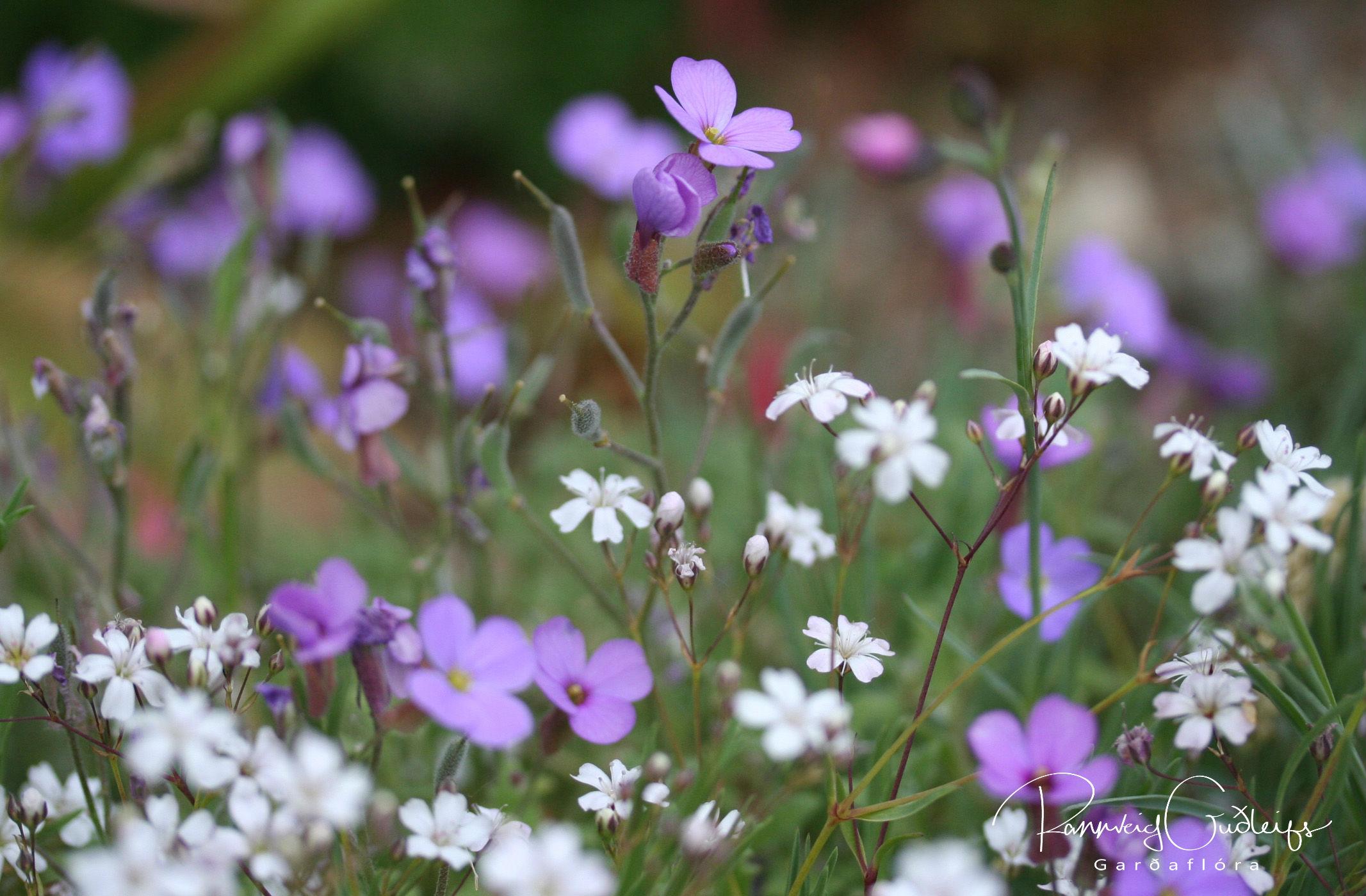 Aubrieta x cultorum 'Grandiflora'