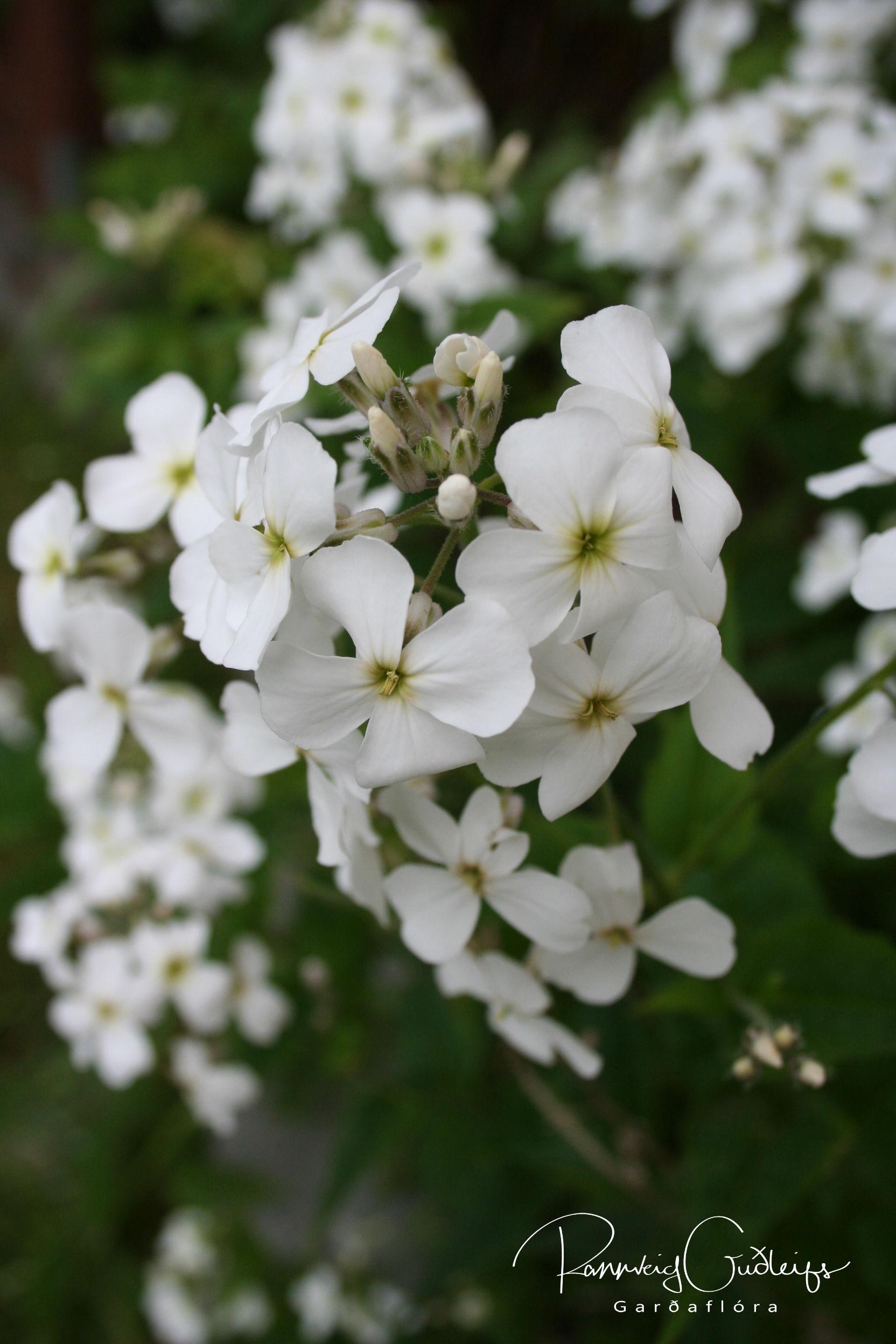 Hesperis matronalis 'Alba'
