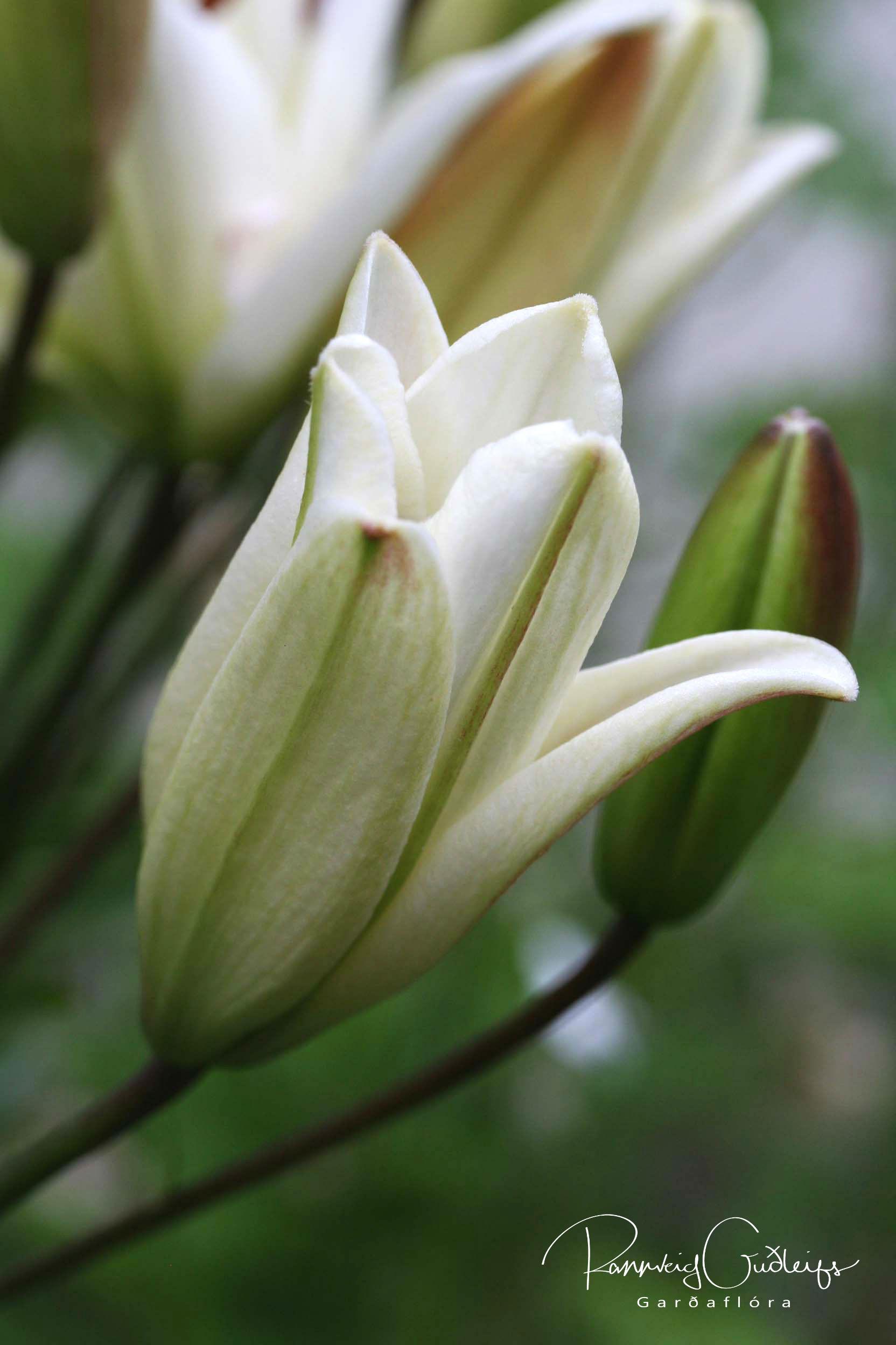 Lilium 'Navona'