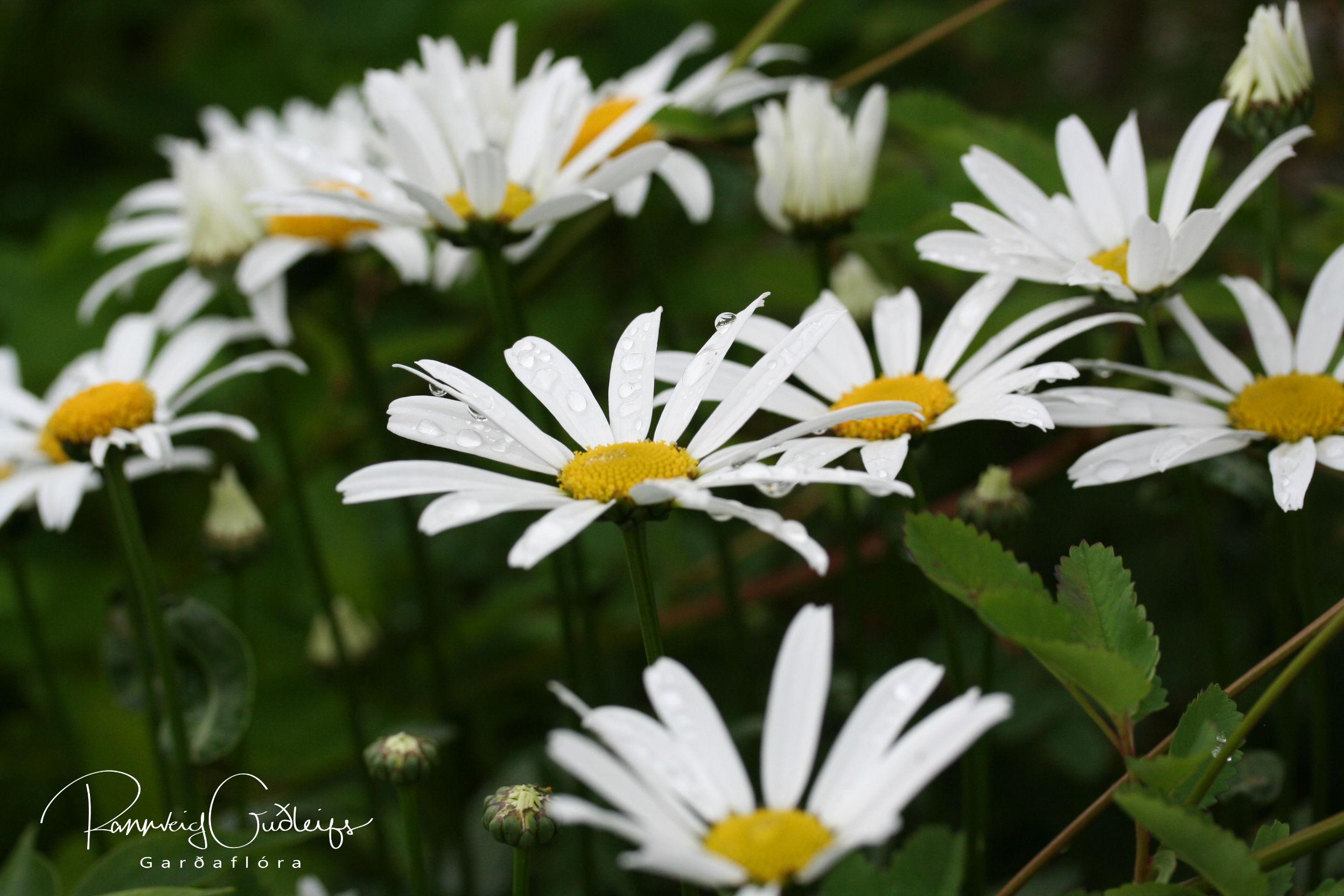 Leucanthemum maximum 'Silberprizesschen'